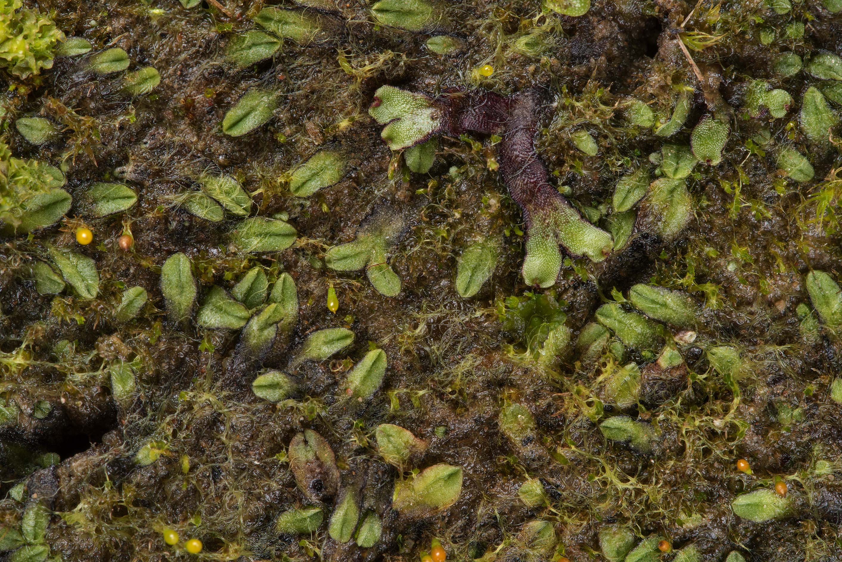 Hemispheric liverwort (Reboulia hemisphaerica) on...Creek Park. College Station, Texas