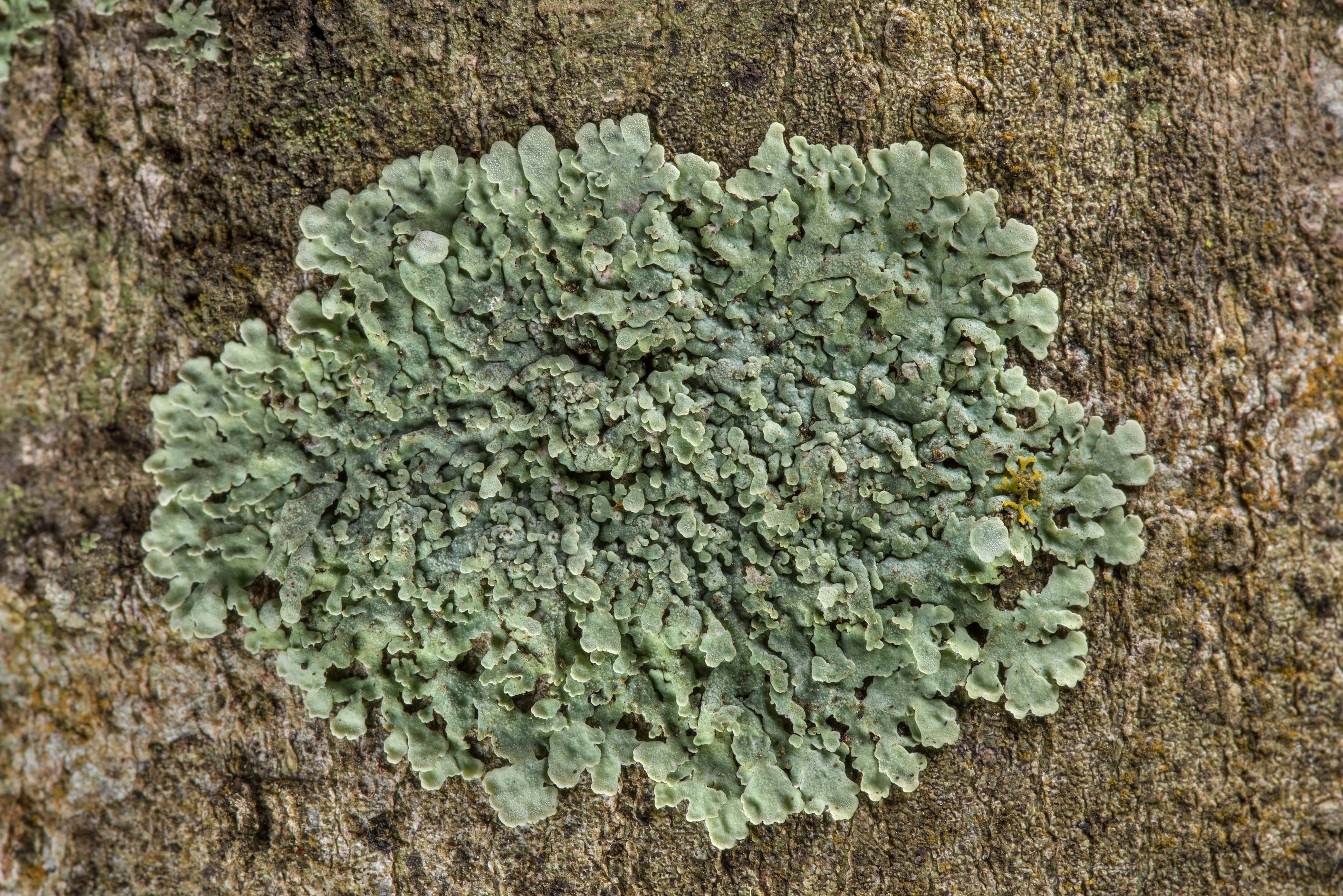 Patch of rosette lichen (Physcia) on a tree on...Nature Trail, College Station, Texas