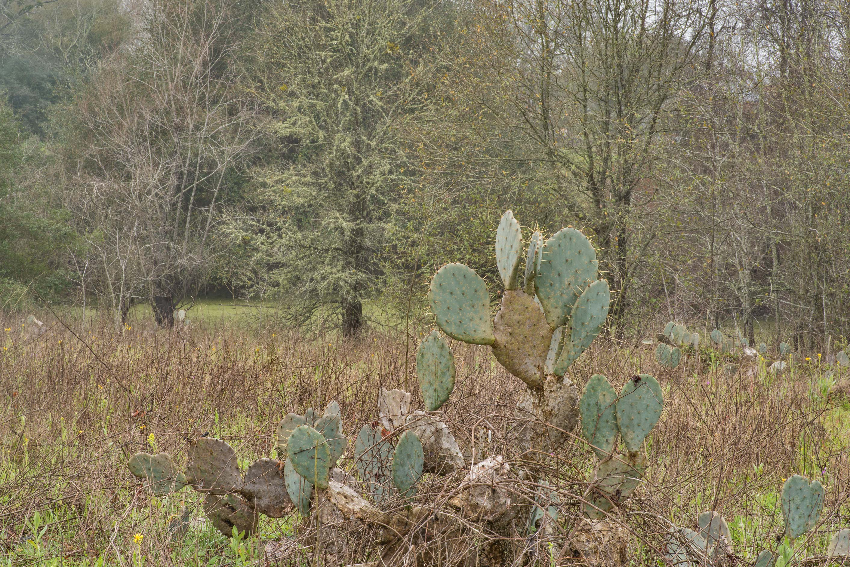 Prickly pear cacti (Opuntia) in Washington-on-the...State Historic Site. Washington, Texas