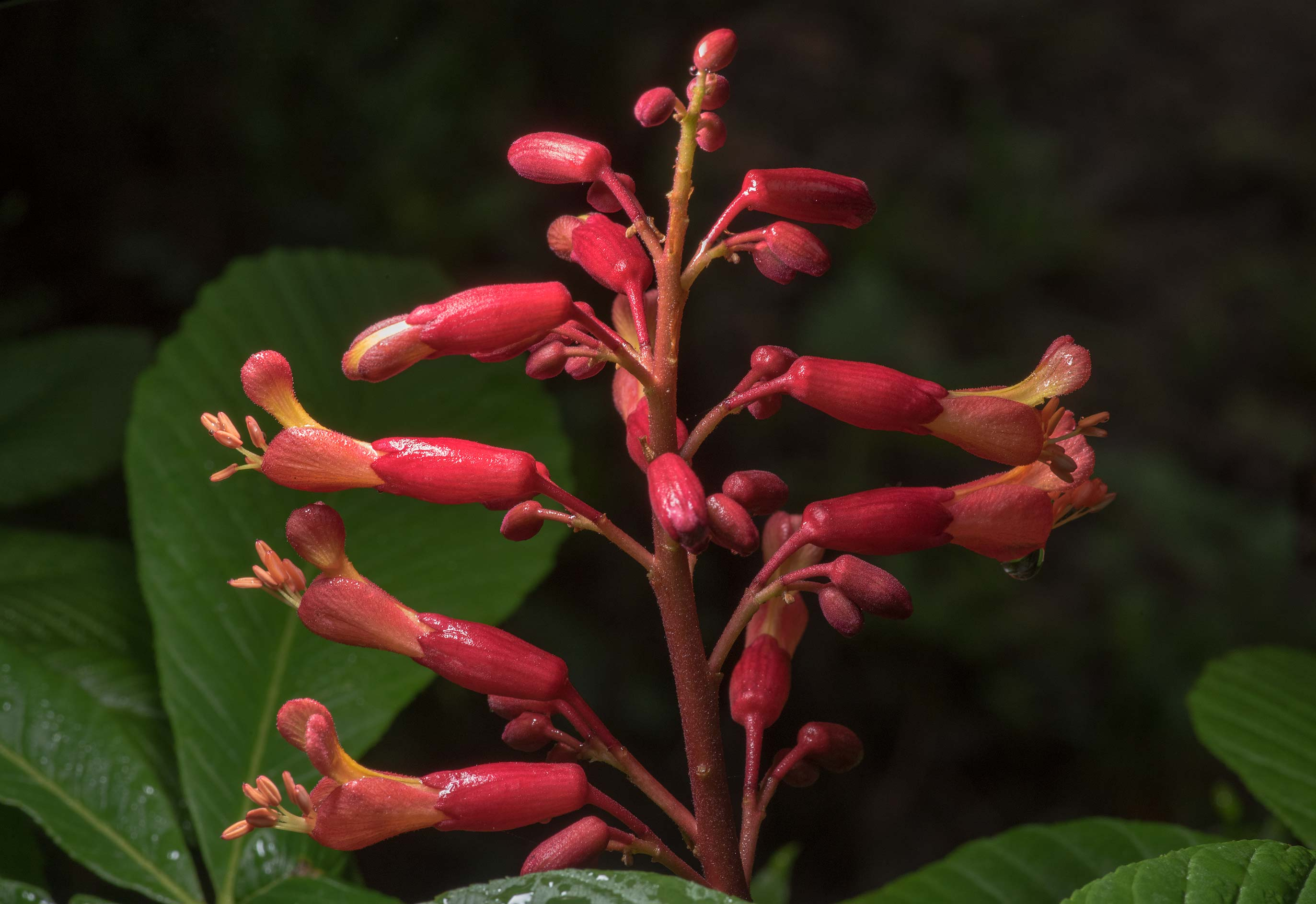 Flowers of red buckeye (Southern buckeye...State Historic Site. Washington, Texas
