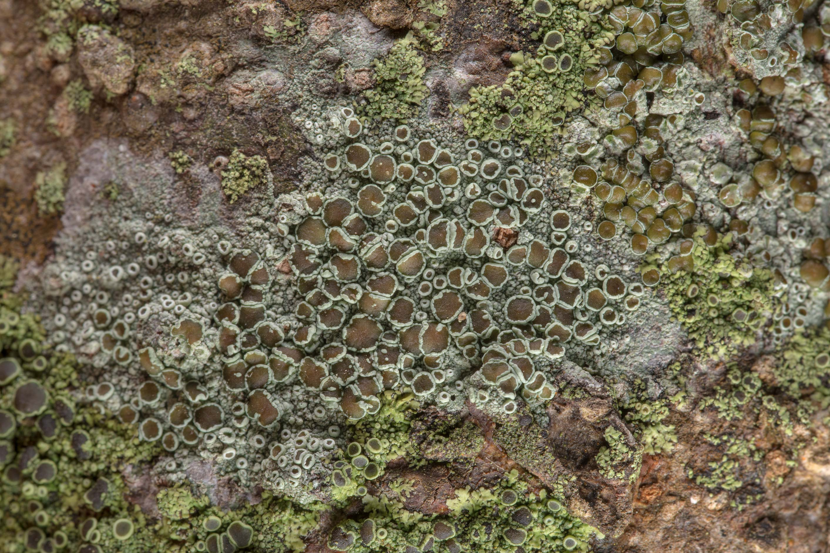 Brown-eyed rim-lichen (Lecanora allophana) lichen...Rose Emporium. Independence, Texas