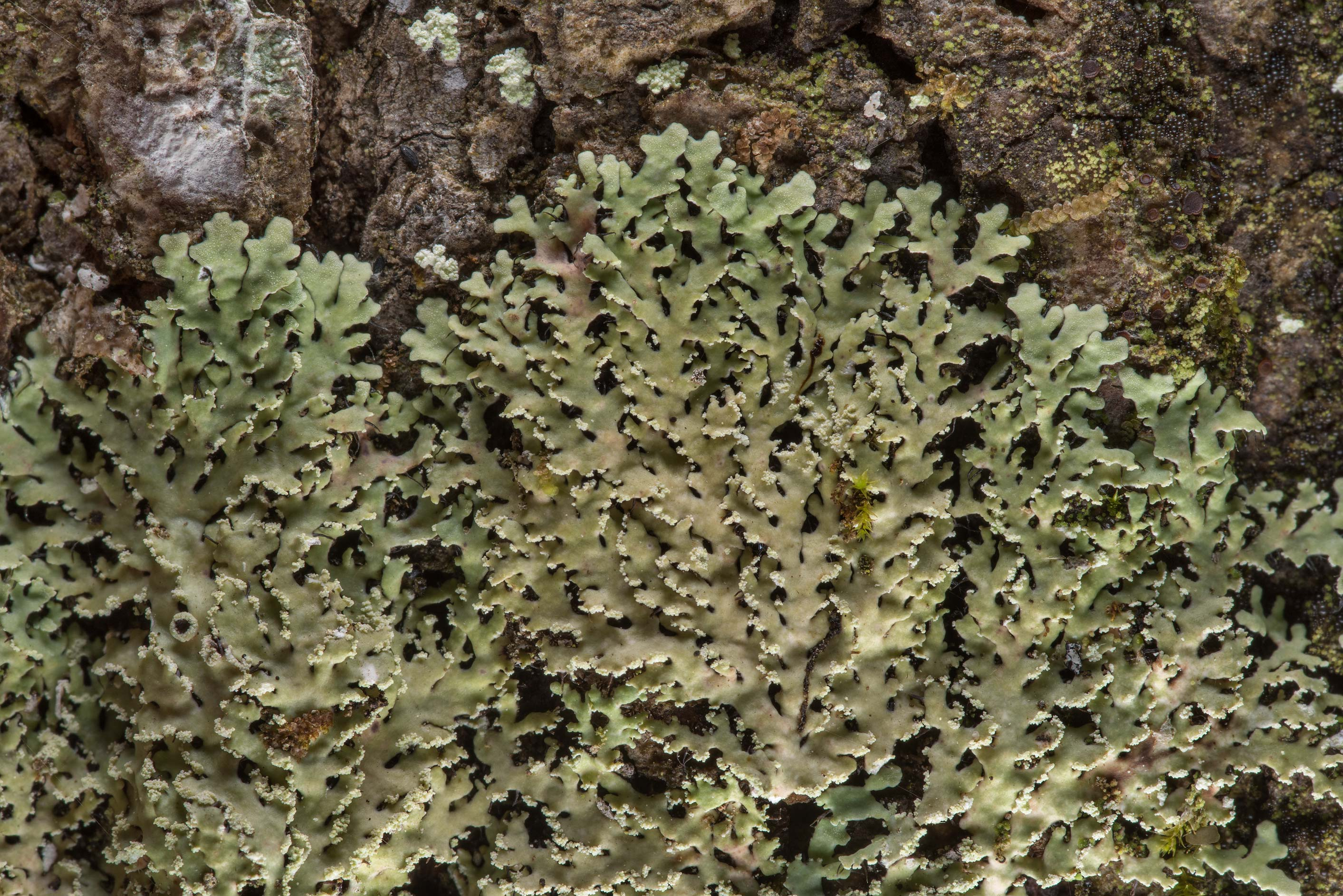 White fringe lichen (Heterodermia albicans) on a...National Forest. Richards, Texas