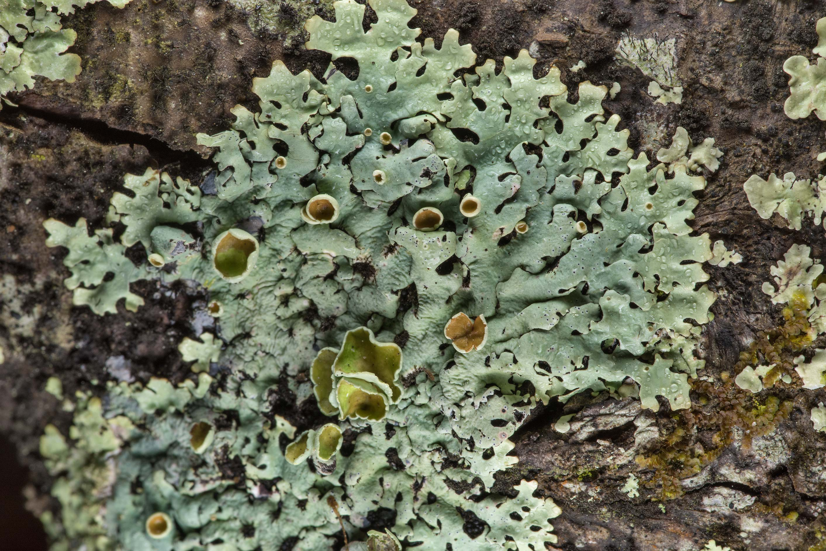 Wrinkled loop lichen (Hypotrachyna livida) on a...National Forest near Huntsville. Texas