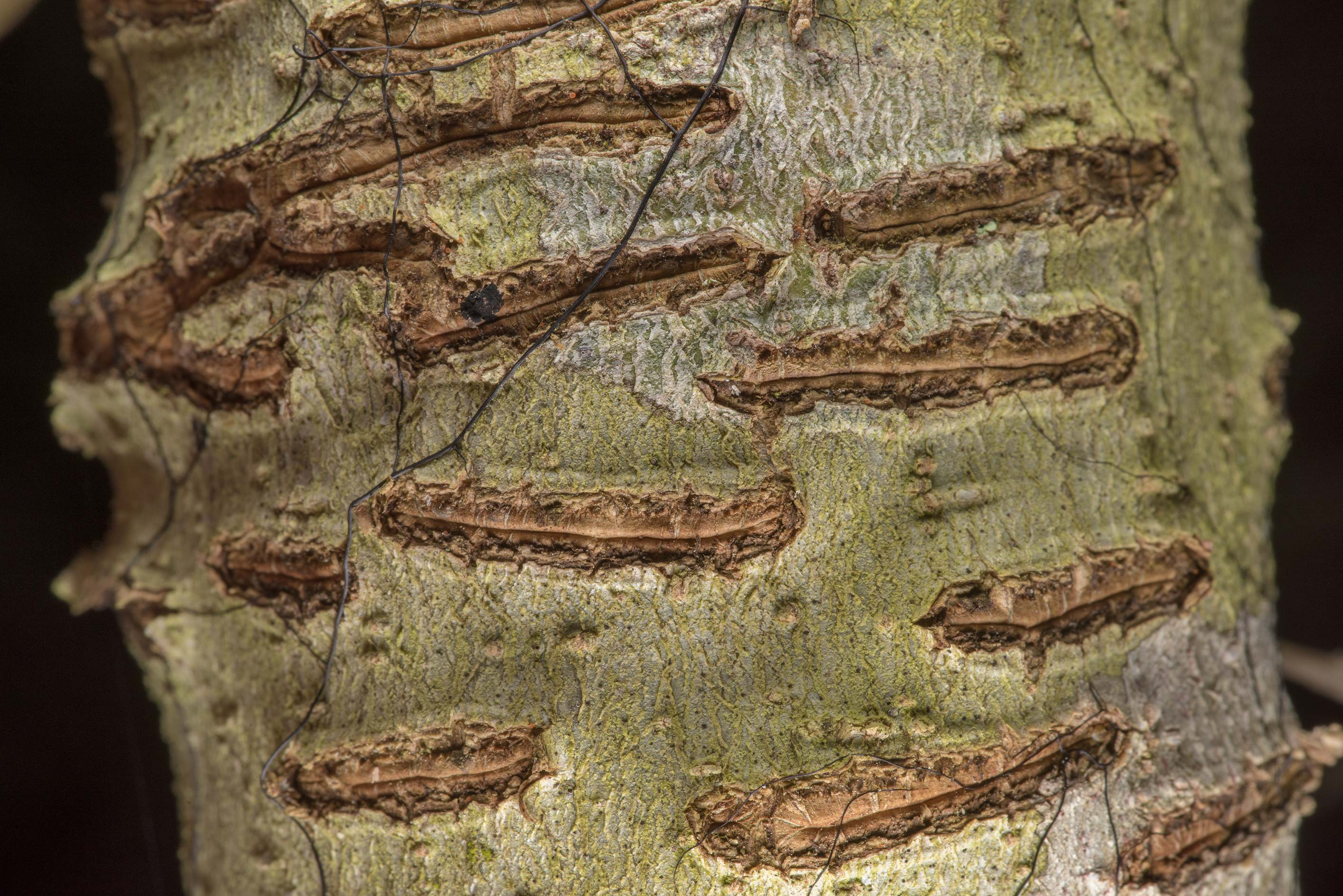 Tree bark damaged by horizontal scratches on...National Forest near Huntsville. Texas