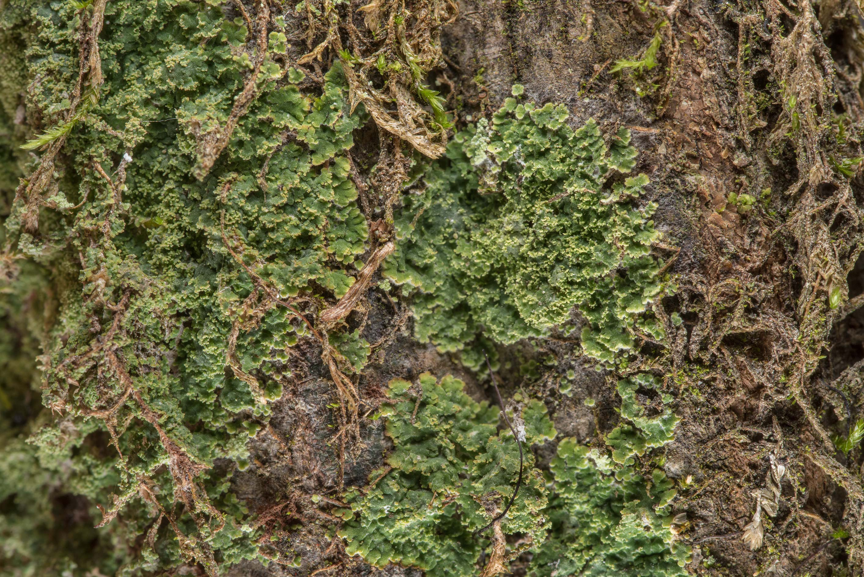 Lace-scale lichen Phyllopsora parvifolia on a...National Forest near Huntsville. Texas