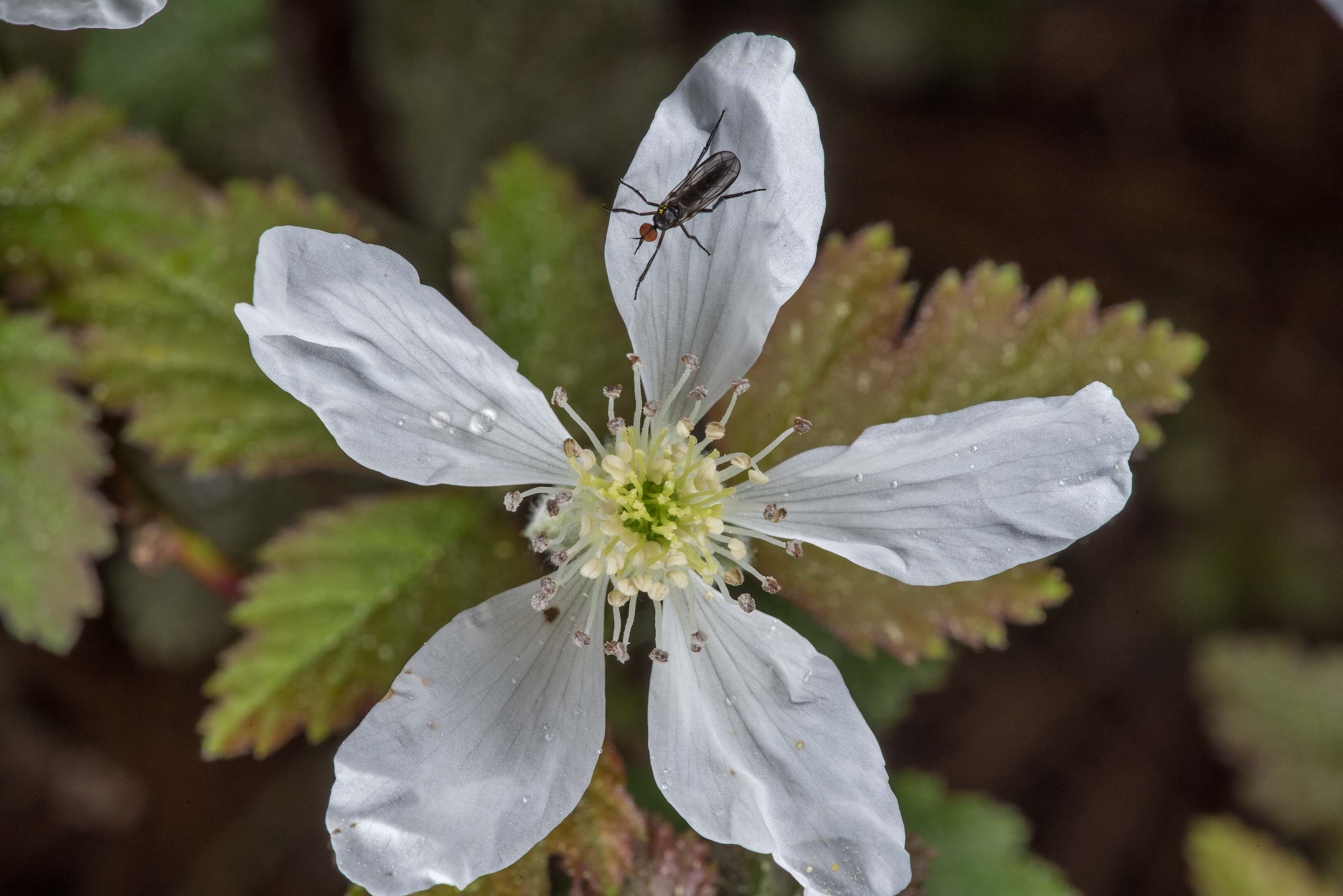 Flower of dewberry at Little Lake Creek Loop...National Forest. Richards, Texas
