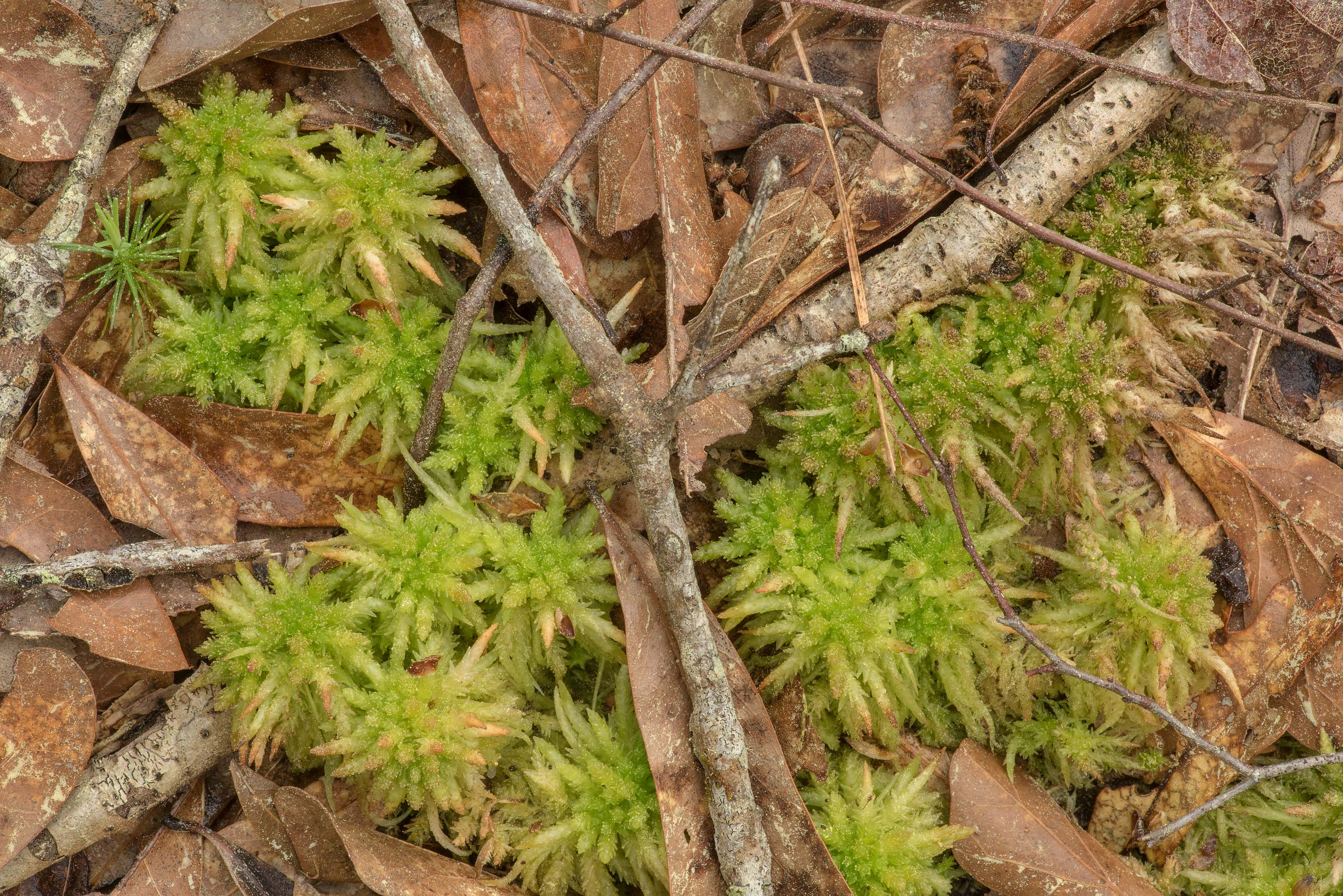 Peat moss, most likely Sphagnum lescurii, on...National Forest. Shepherd, Texas