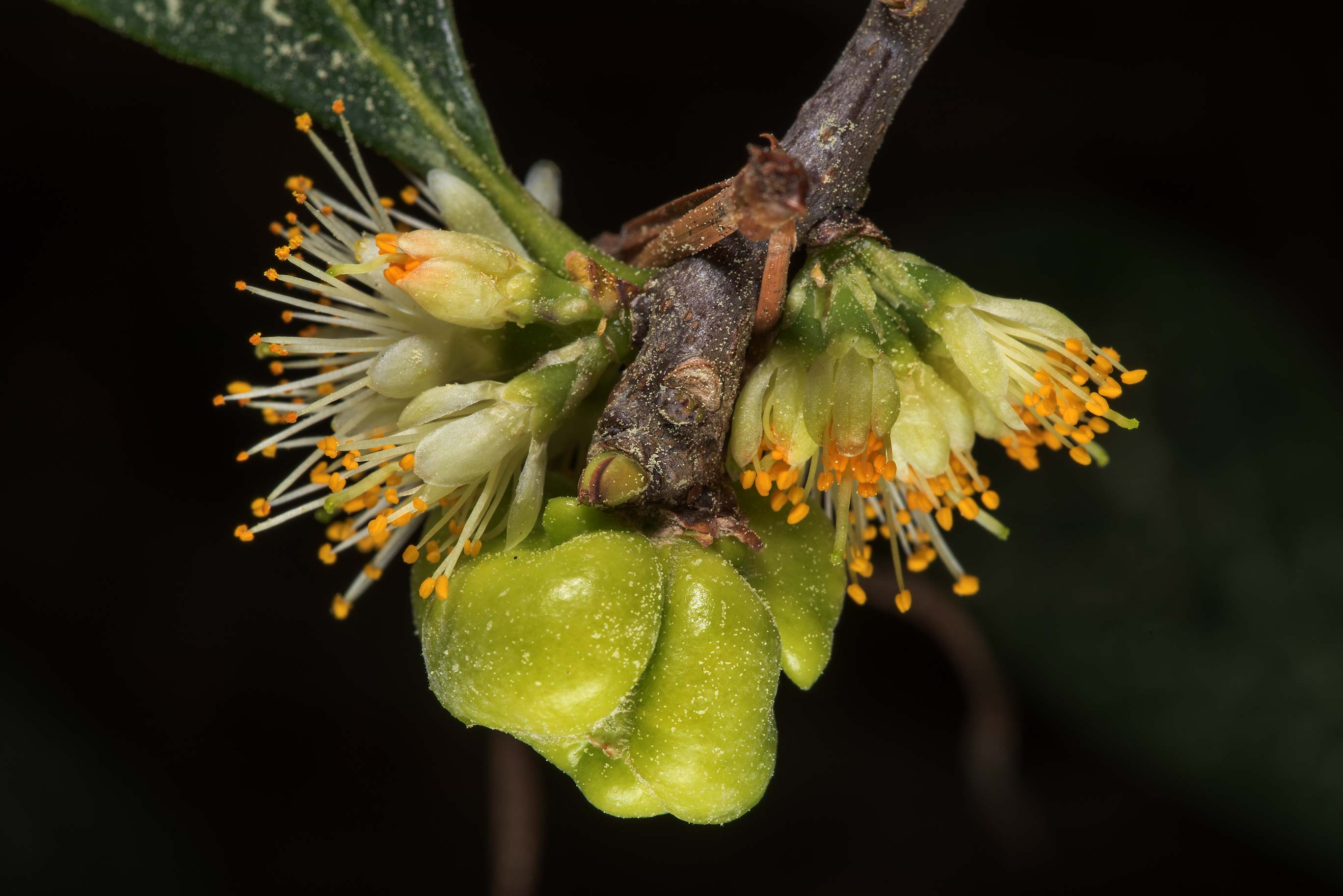 Galls caused by the fungus Exobasidium symploci...National Forest. Shepherd, Texas