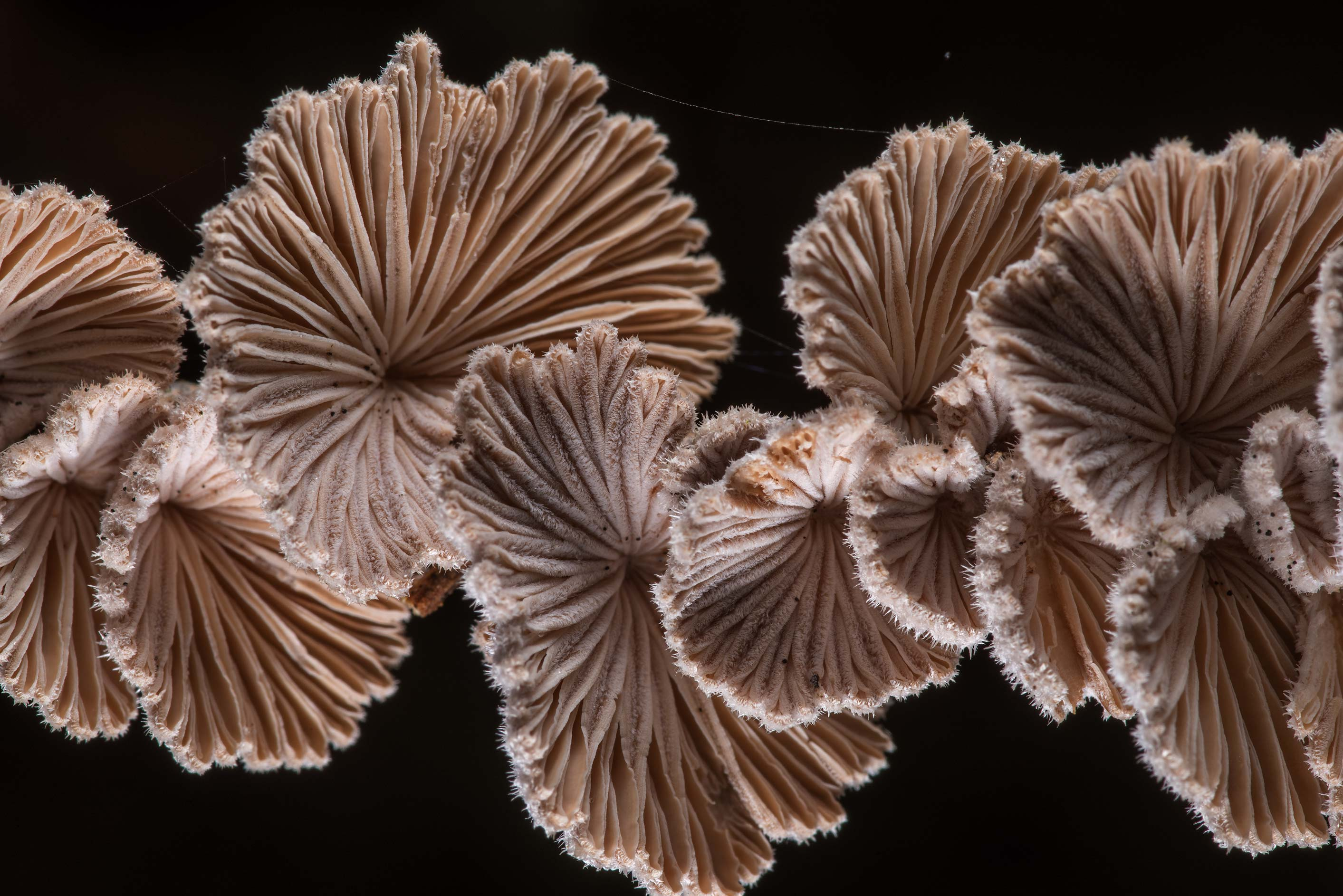 Splitgill mushrooms (Schizophyllum commune) on a...Creek Park. College Station, Texas