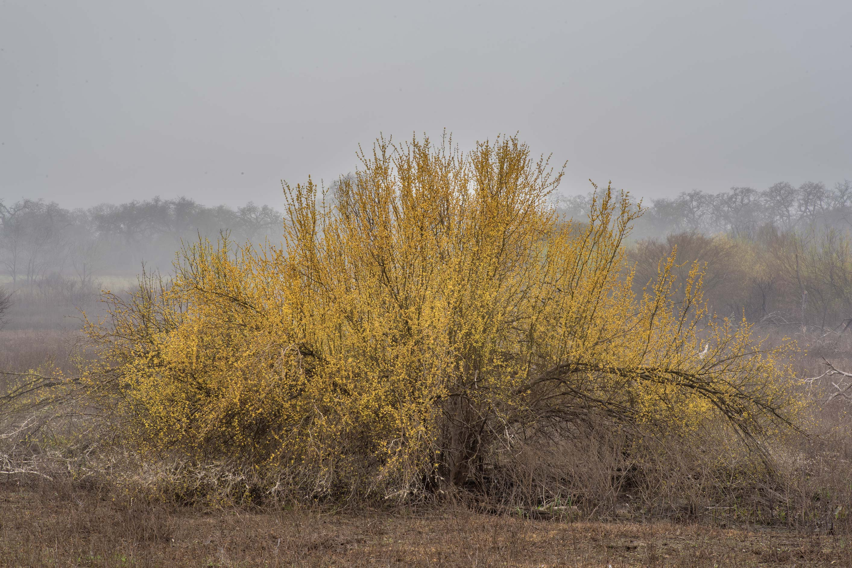 Blooming bush in a recently flooded area at Lake...of Somerville Lake State Park. Texas