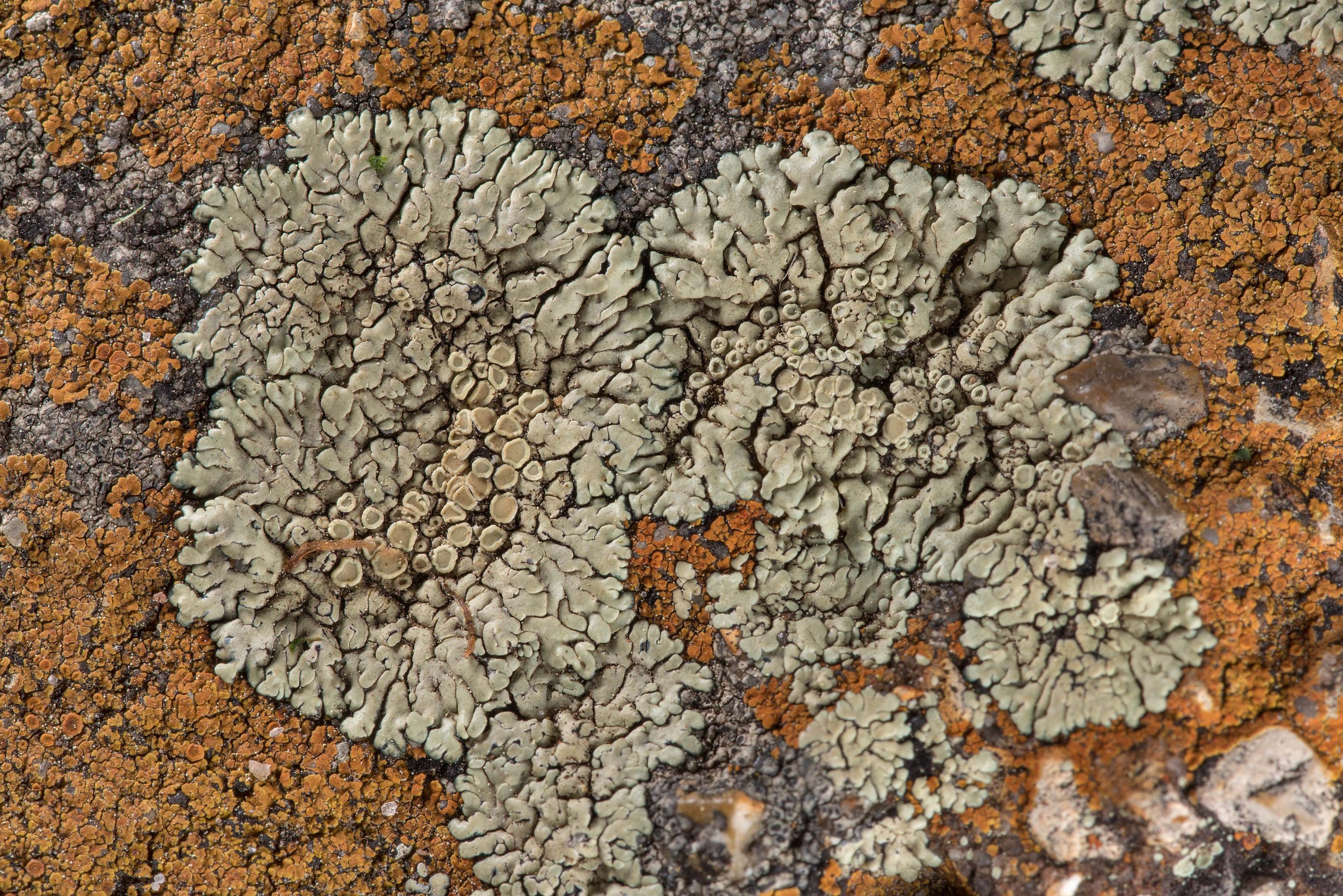 Stonewall rim-lichen (Lecanora muralis) with...in Bastrop State Park. Bastrop, Texas