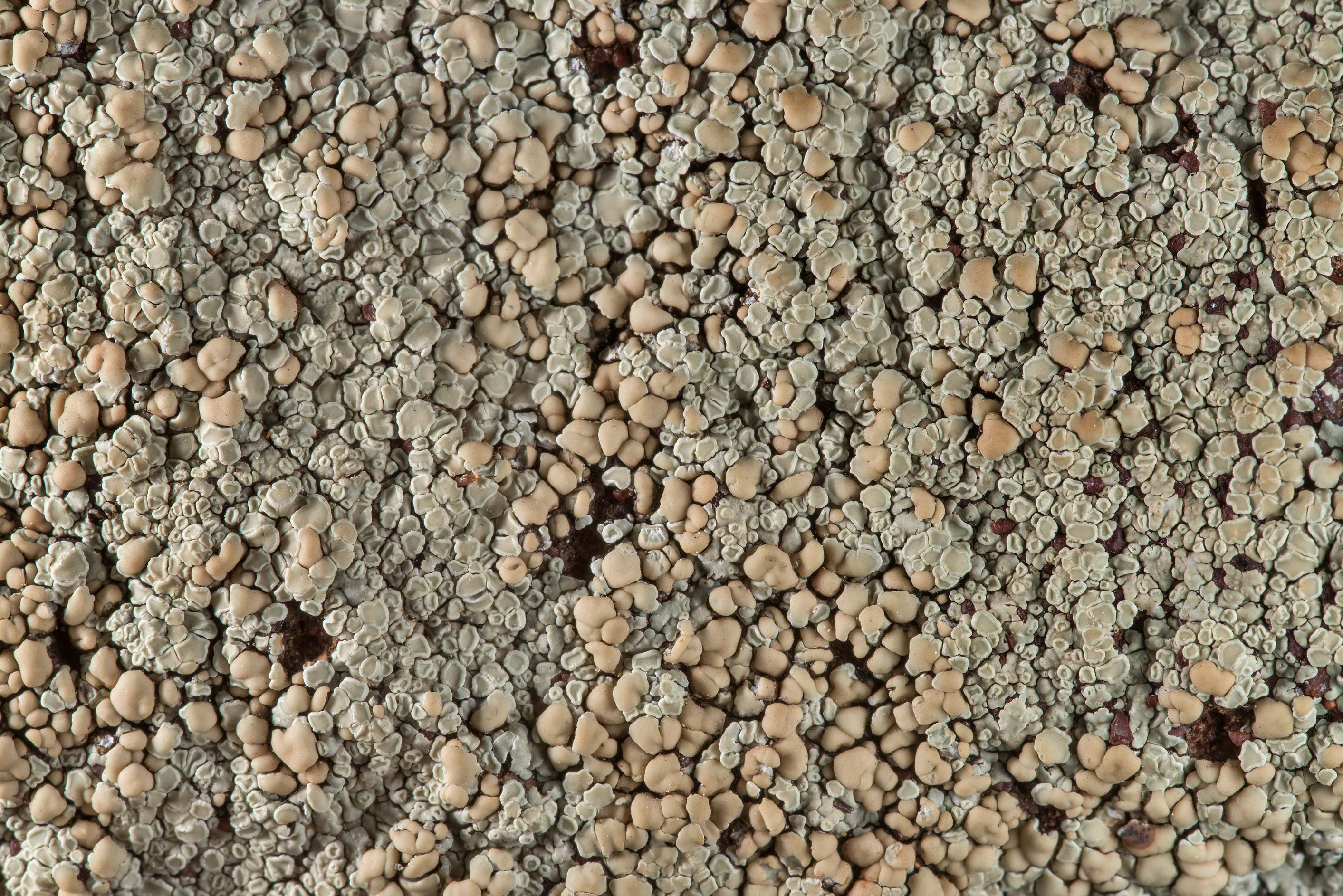 Close up of stonewall rim-lichen (Lecanora...in Bastrop State Park. Bastrop, Texas