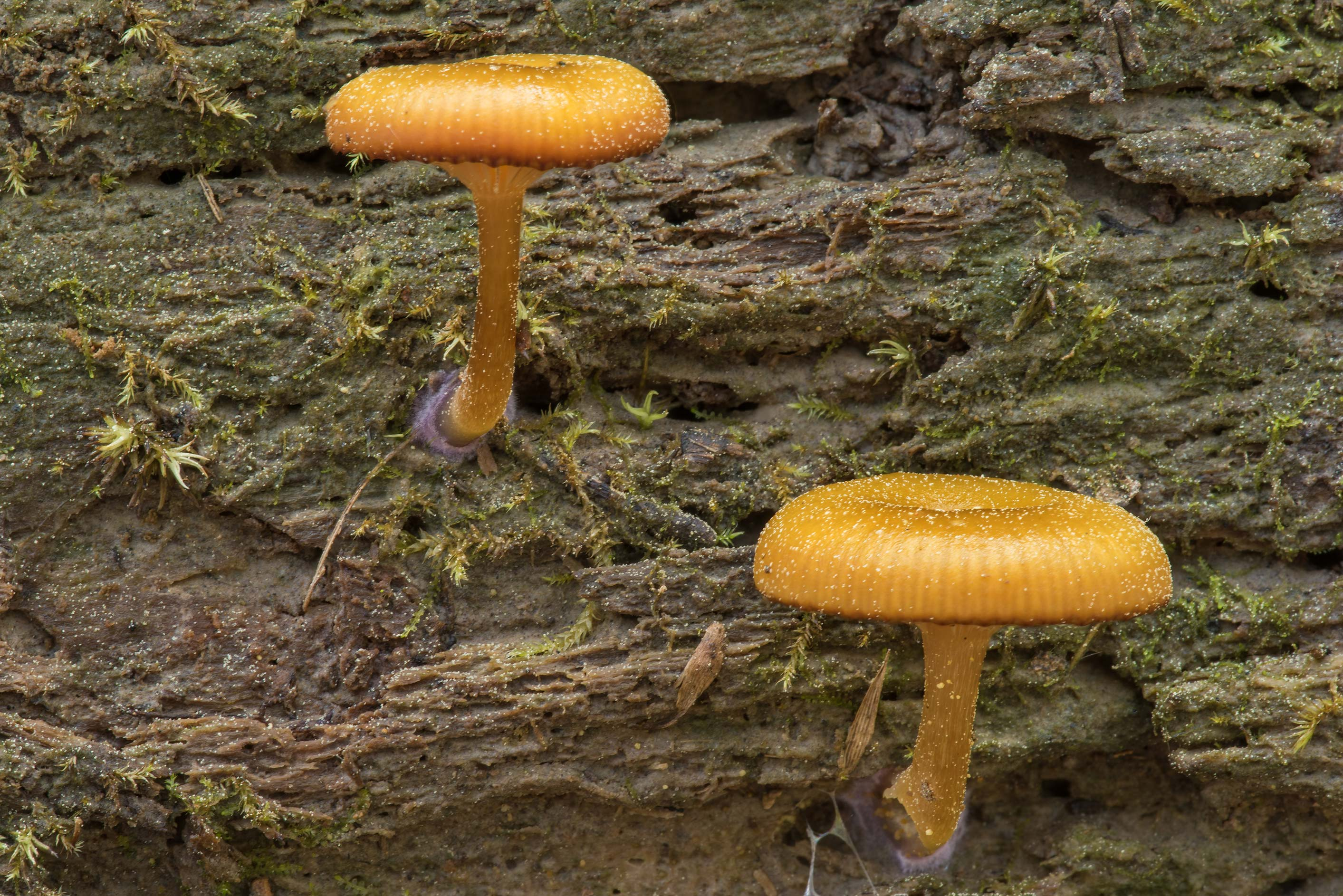 Side view of mushrooms Chromosera lilacifolia...National Forest near Huntsville. Texas