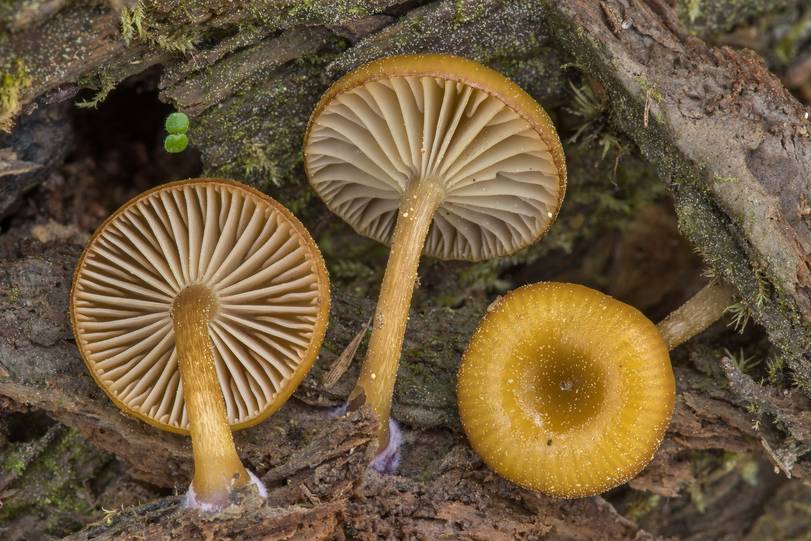 Close up of mushrooms Chromosera lilacifolia...National Forest near Huntsville. Texas