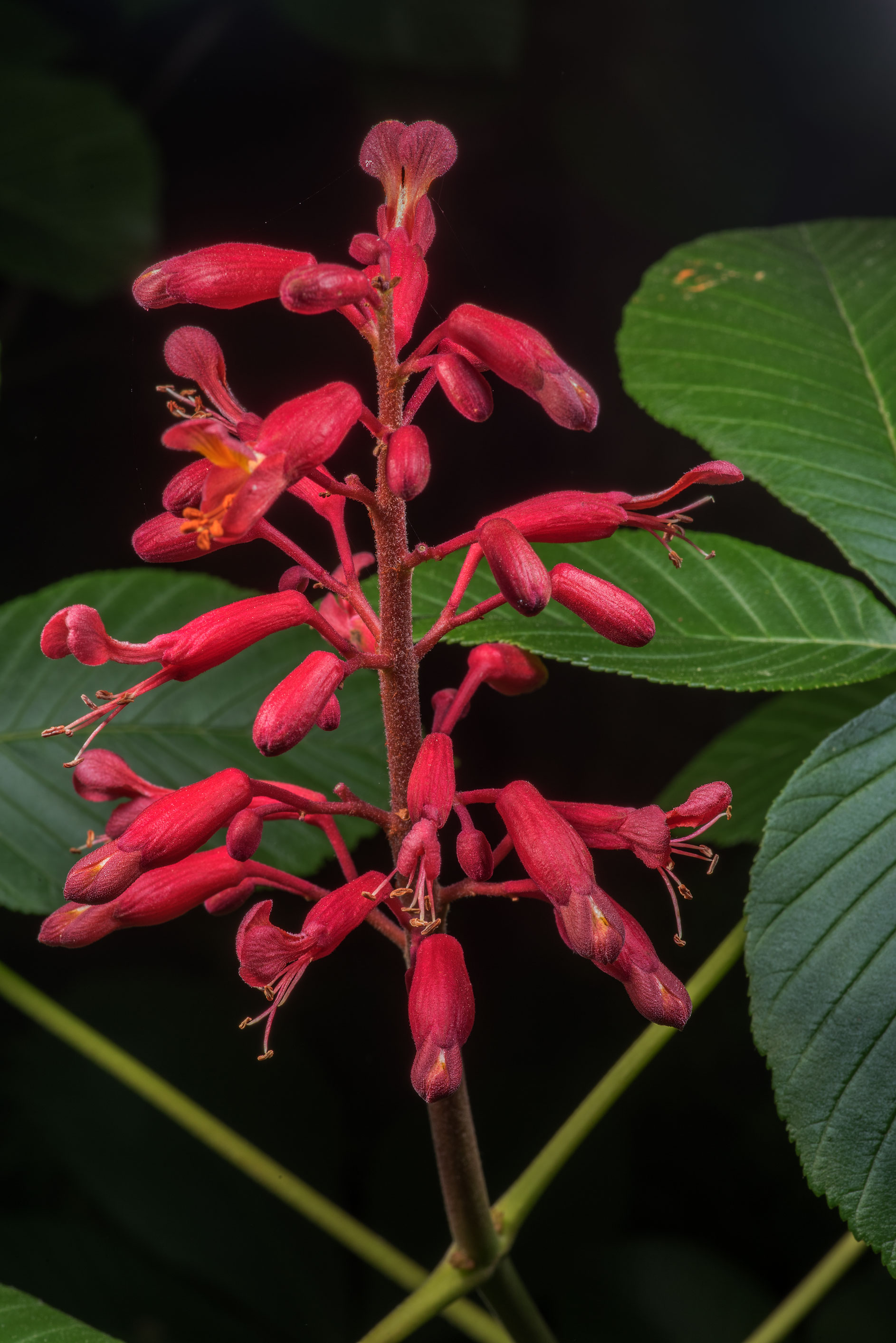 Red buckeye (Southern buckeye, Aesculus pavia) in...State Historic Site. Washington, Texas