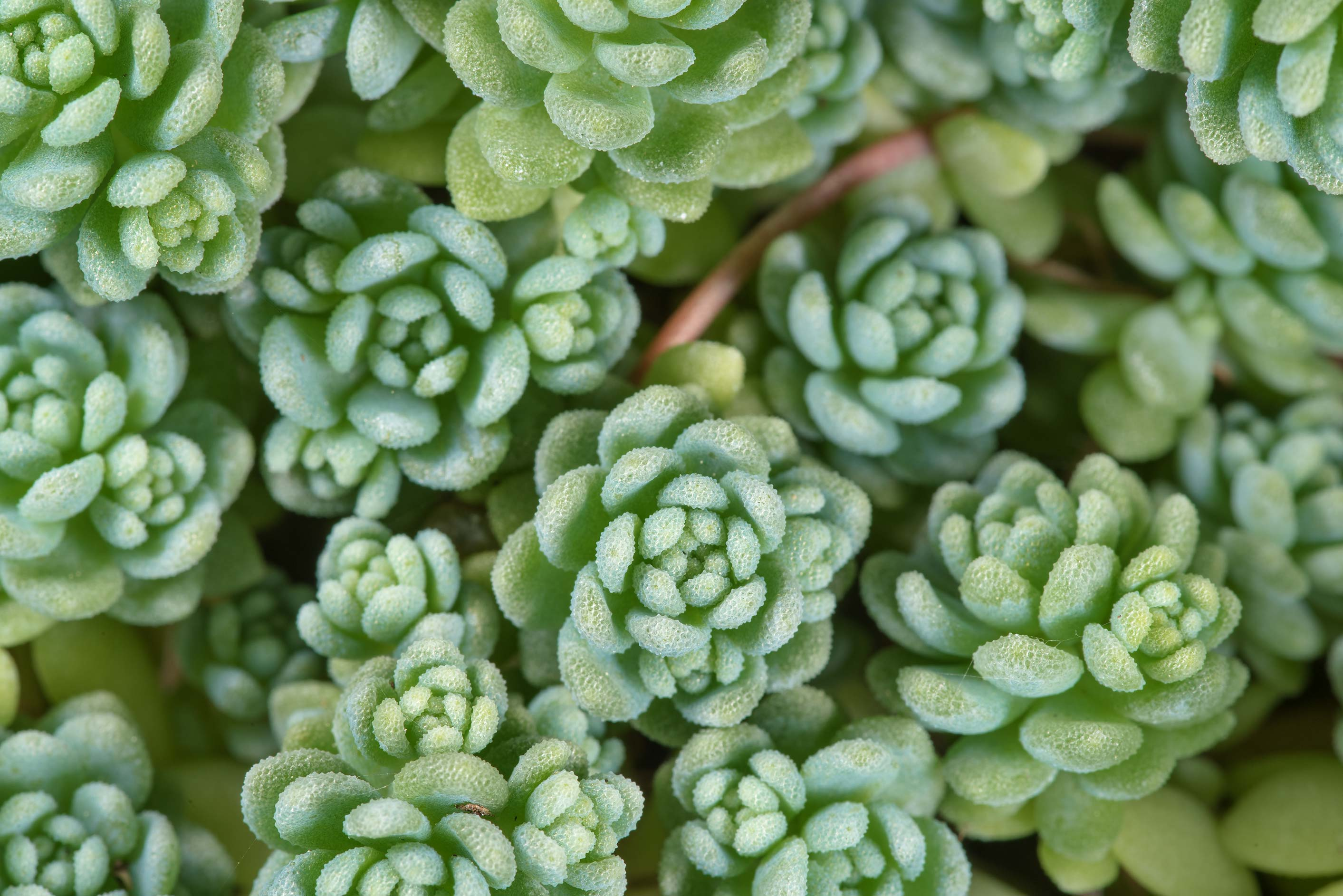Some blue stonecrop (Sedum) in Antique Rose Emporium. Independence, Texas