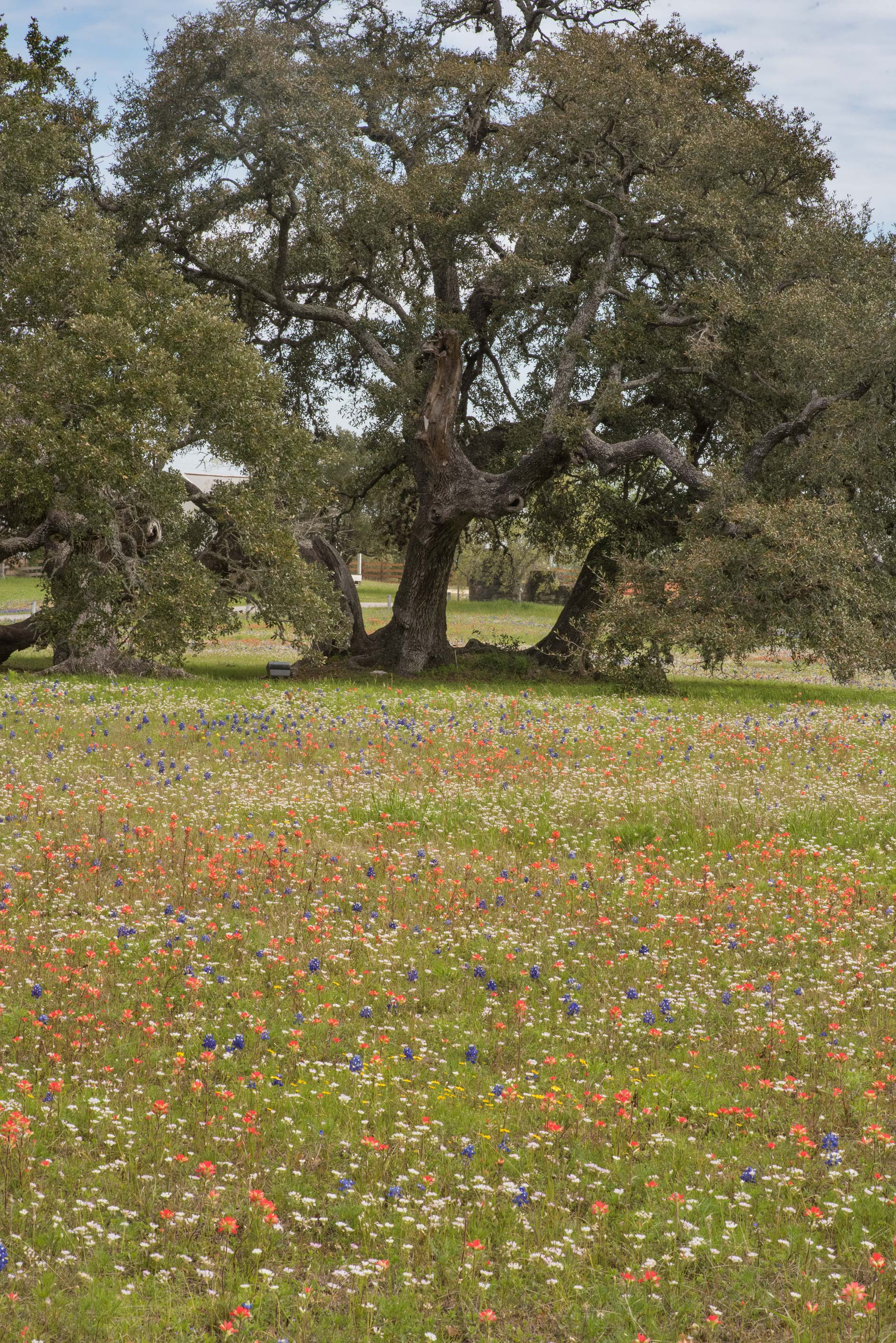 Field and oaks in Old Baylor Park. Independence, Texas