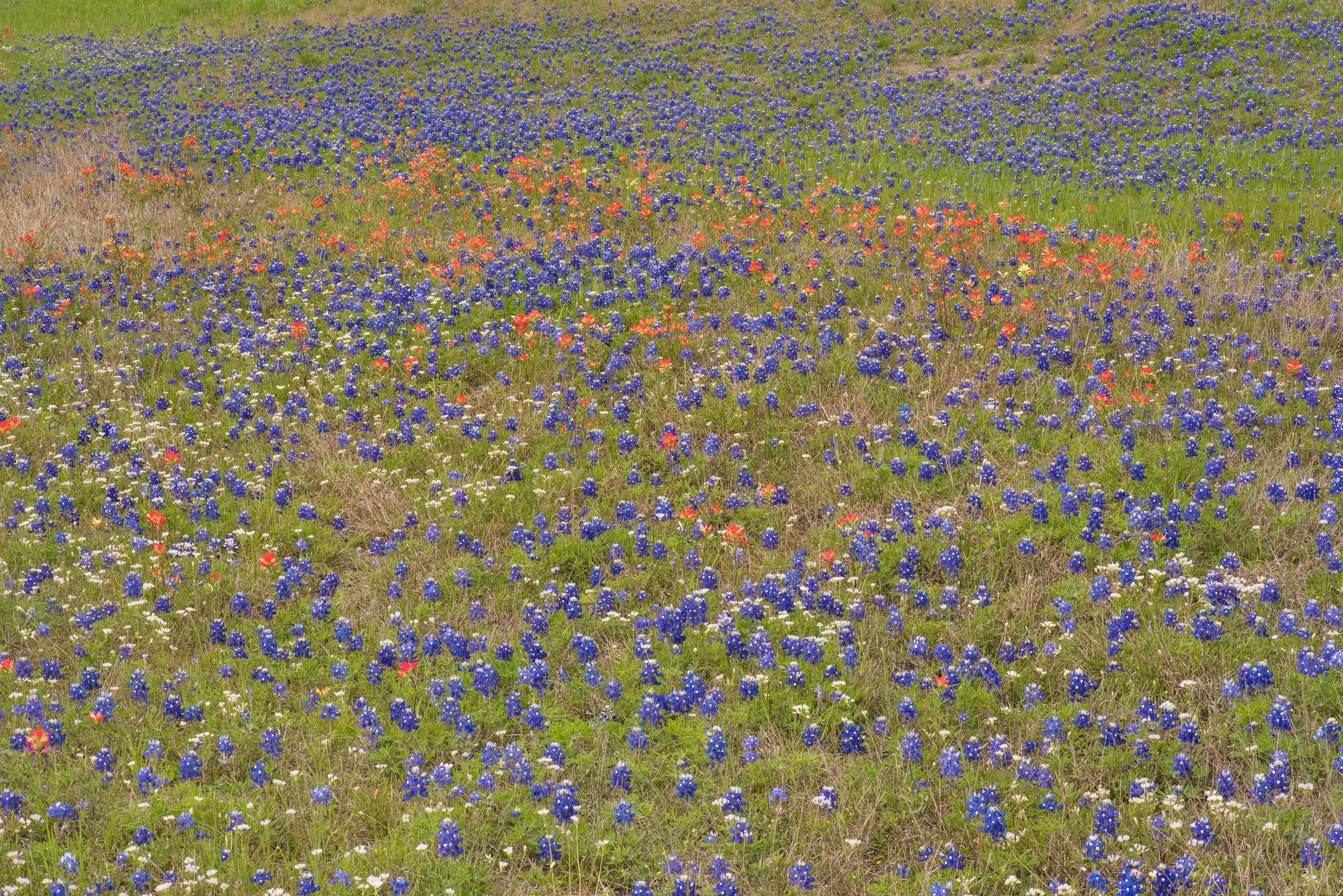 Roadside flowers in Old Baylor Park. Independence, Texas