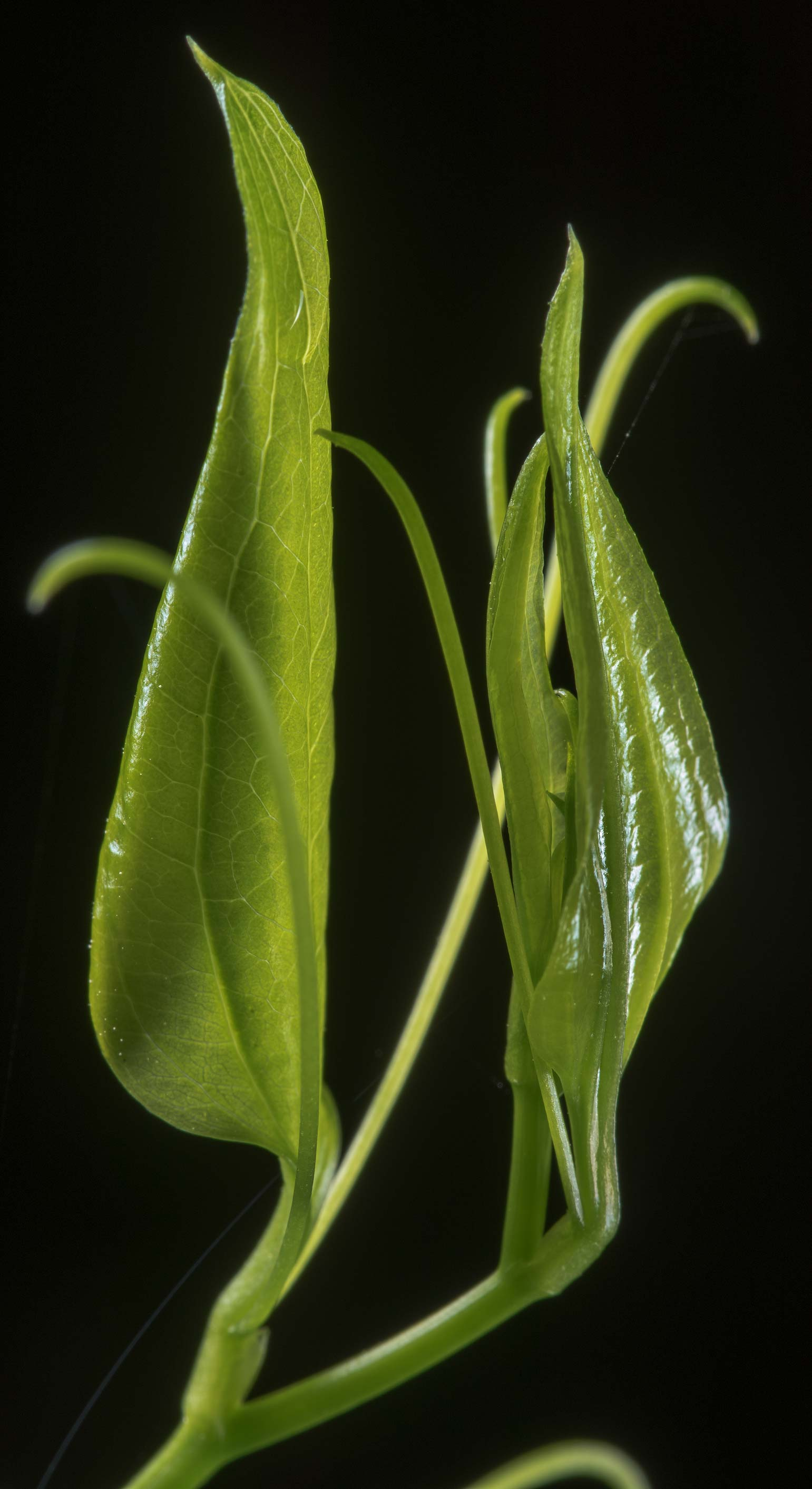 Shoot of greenbrier (Smilax) in Lick Creek Park. College Station, Texas