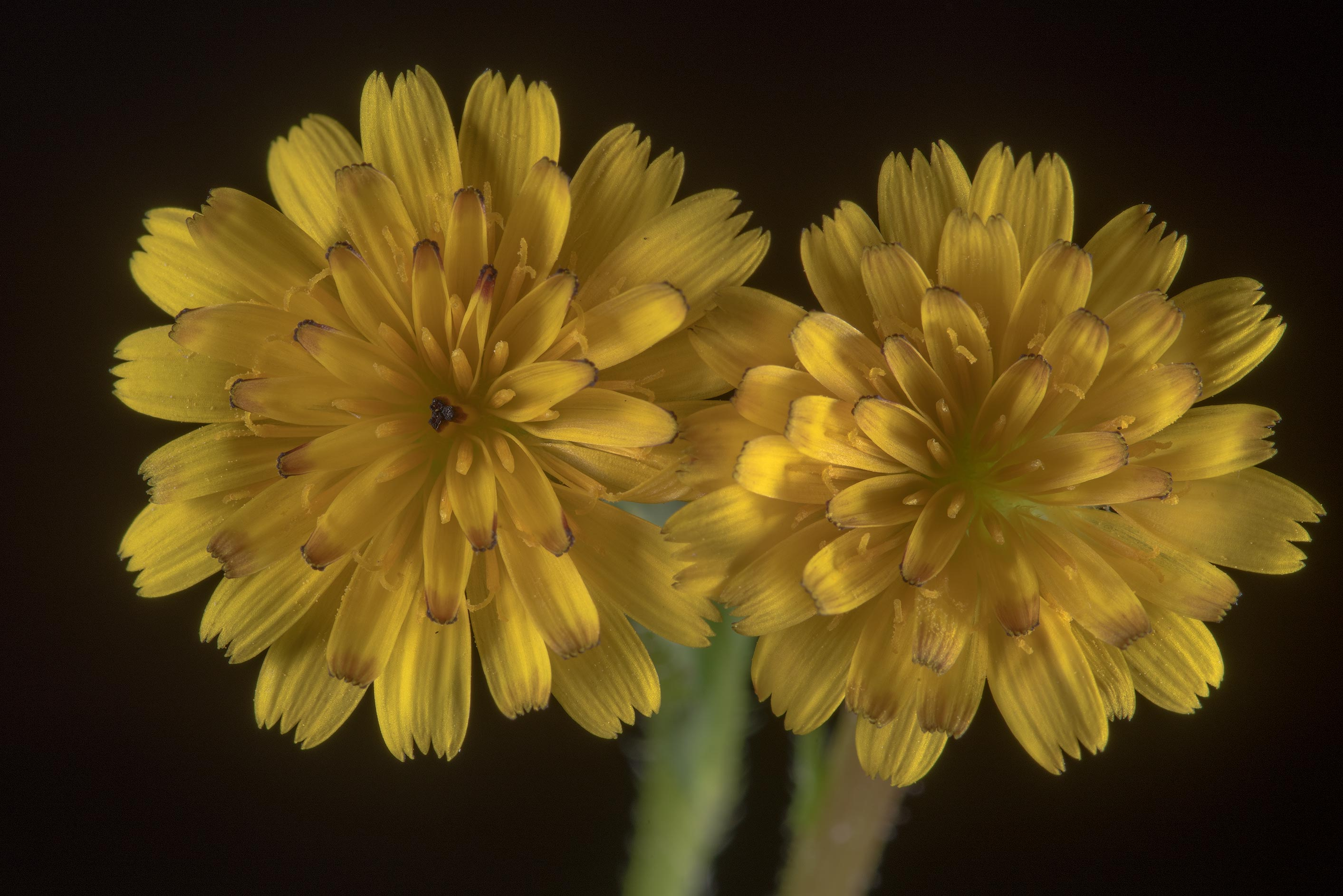Flowers of cretanweed (scaly hawkbit, Hedypnois...Gerge Bush Dr.. College Station, Texas