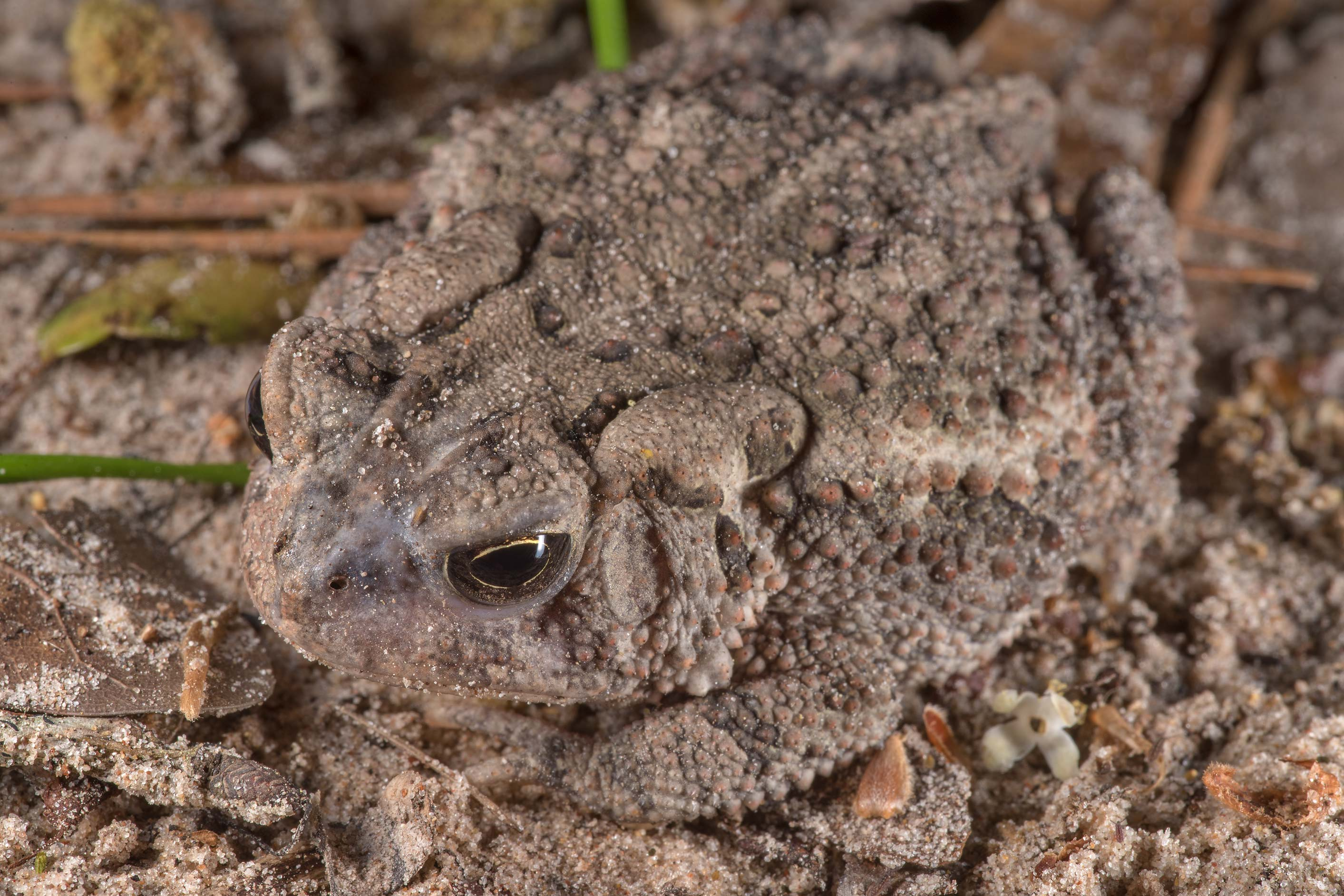 Camouflage of southern toad (Bufo terrestris) on...National Forest near Huntsville. Texas