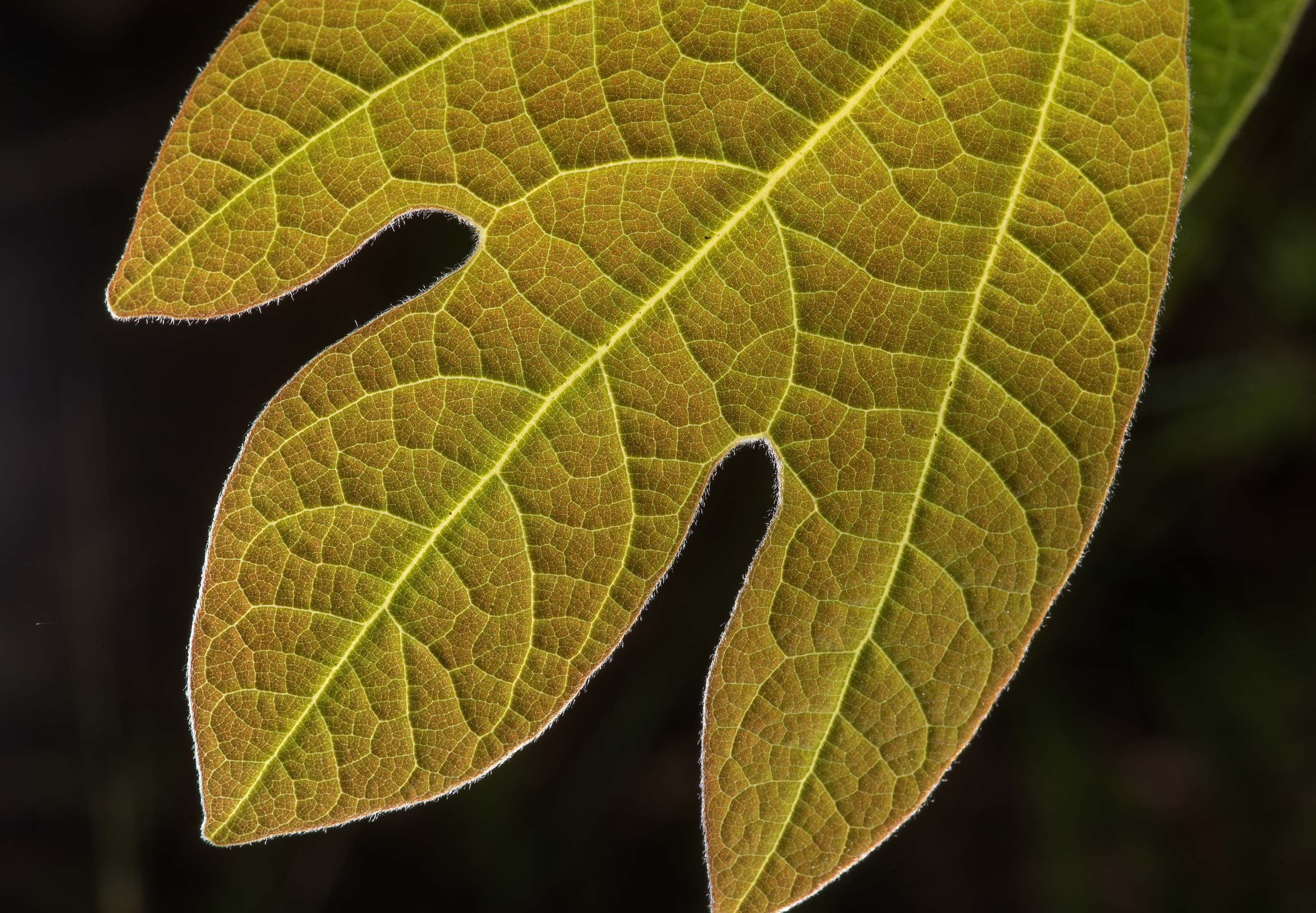 Back lit leaf of sassafras on Lone Star Hiking...National Forest. Huntsville, Texas