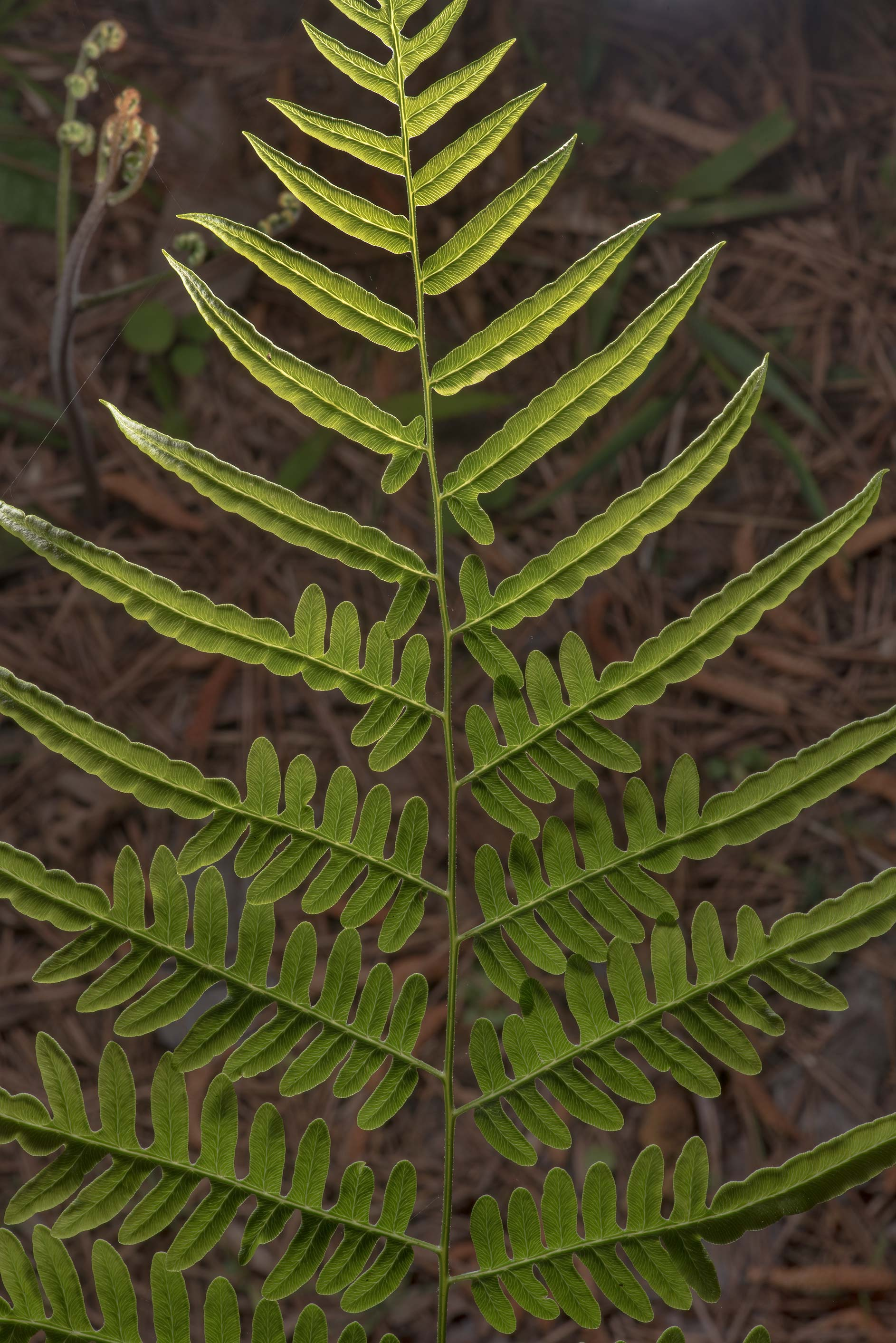Bracken fern (Pteridium aquilinum) on Lone Star...National Forest. Huntsville, Texas