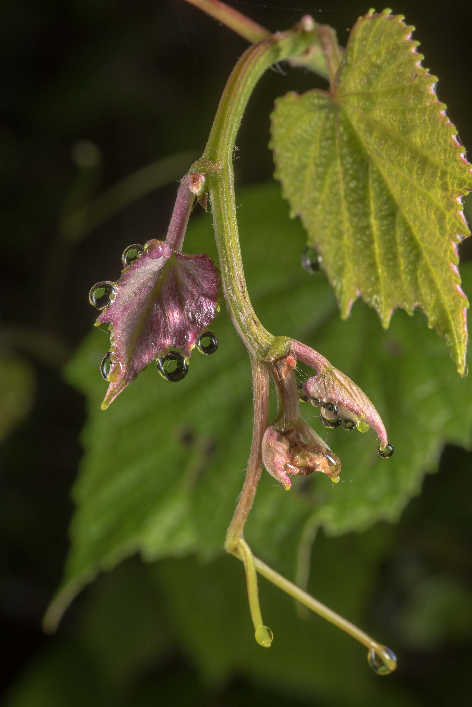 Mustang grape (Vitis mustangensis) in Lick Creek Park. College Station, Texas