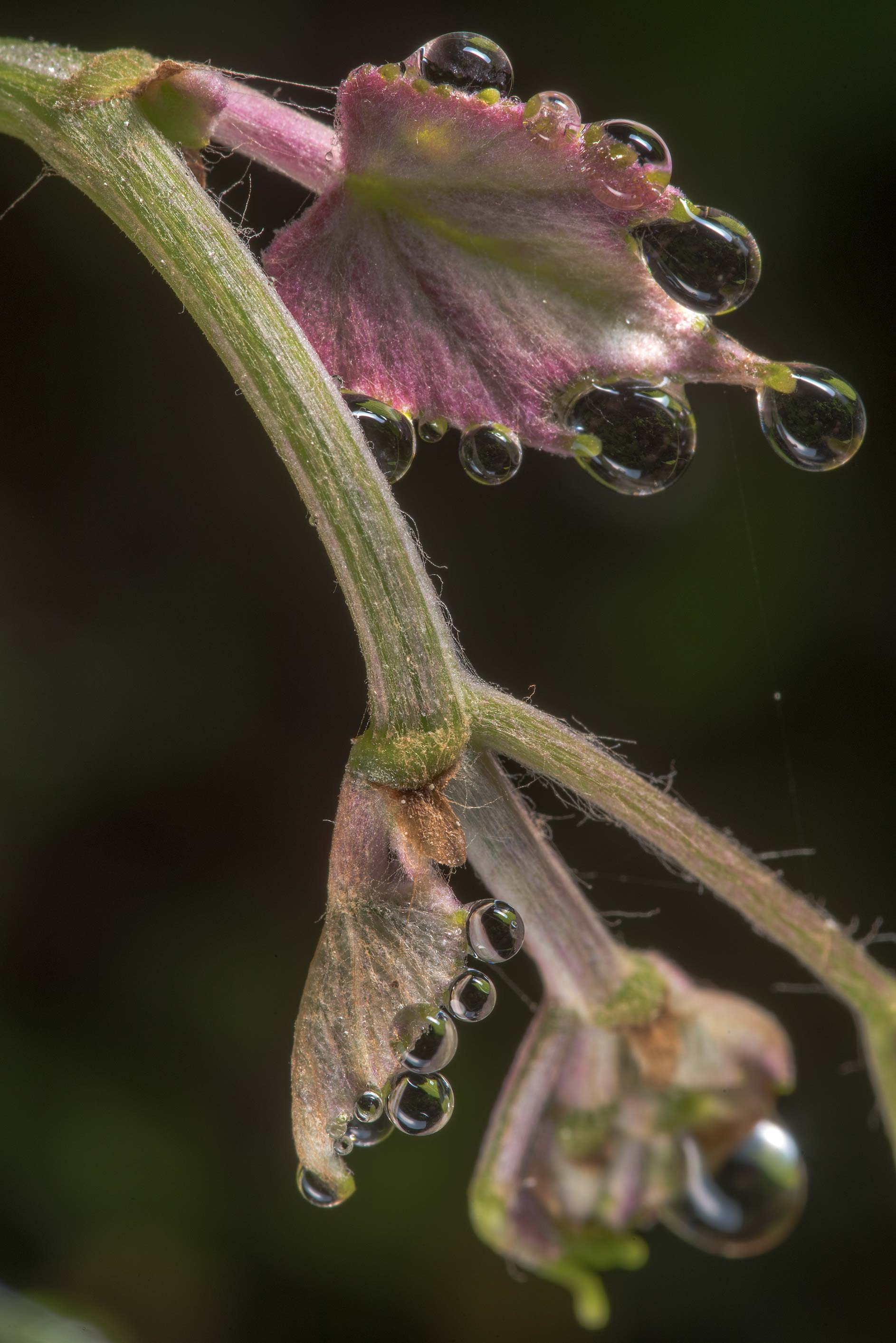Shoot of mustang grape (Vitis mustangensis) in Lick Creek Park. College Station, Texas