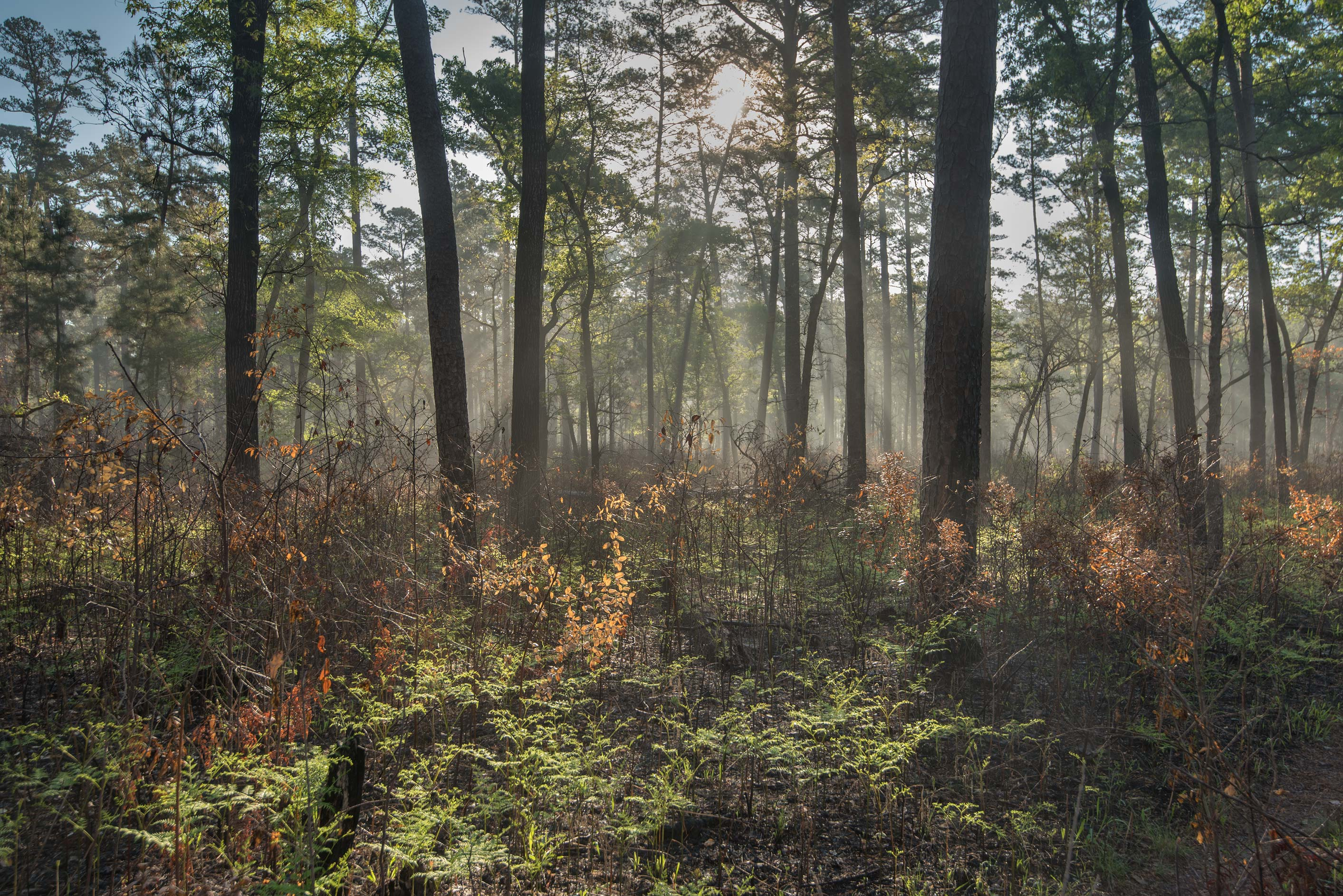 Morning mist on Lone Star Hiking Trail in Sam...Forest west from Richards. Texas