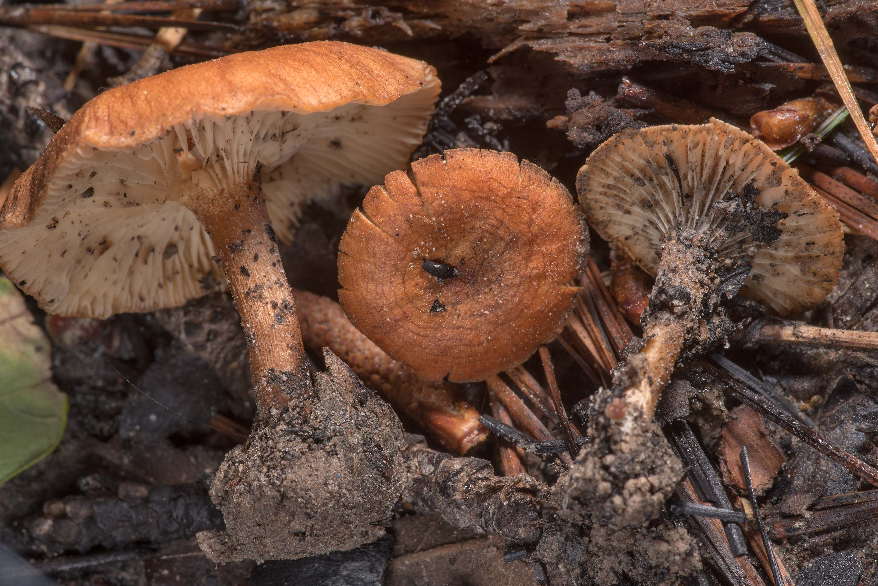 Brick-red Clitocybe mushrooms (Clitocybe sinopica...Forest west from Richards. Texas
