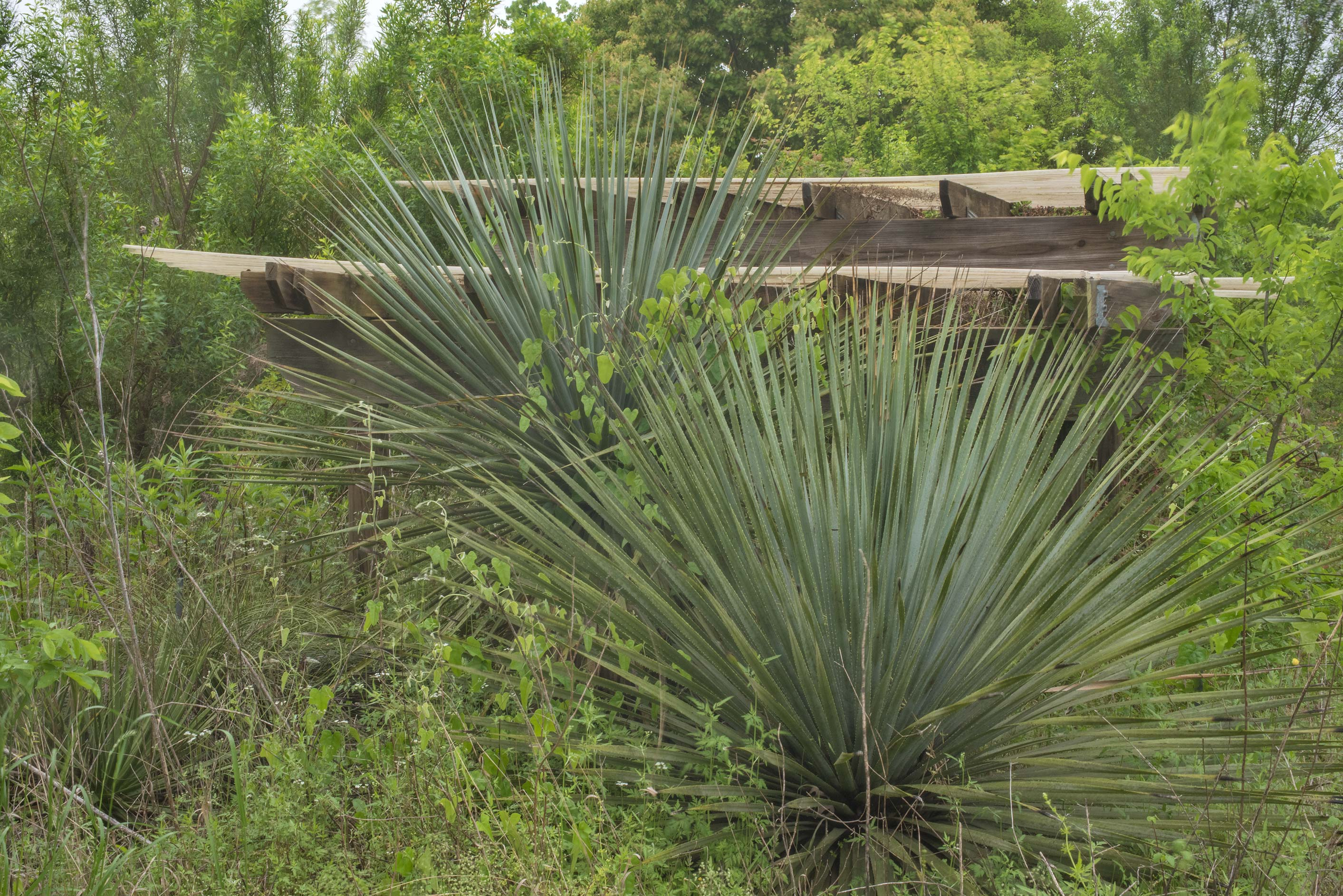 Yucca in Trial Beds area in TAMU Horticultural...M University. College Station, Texas