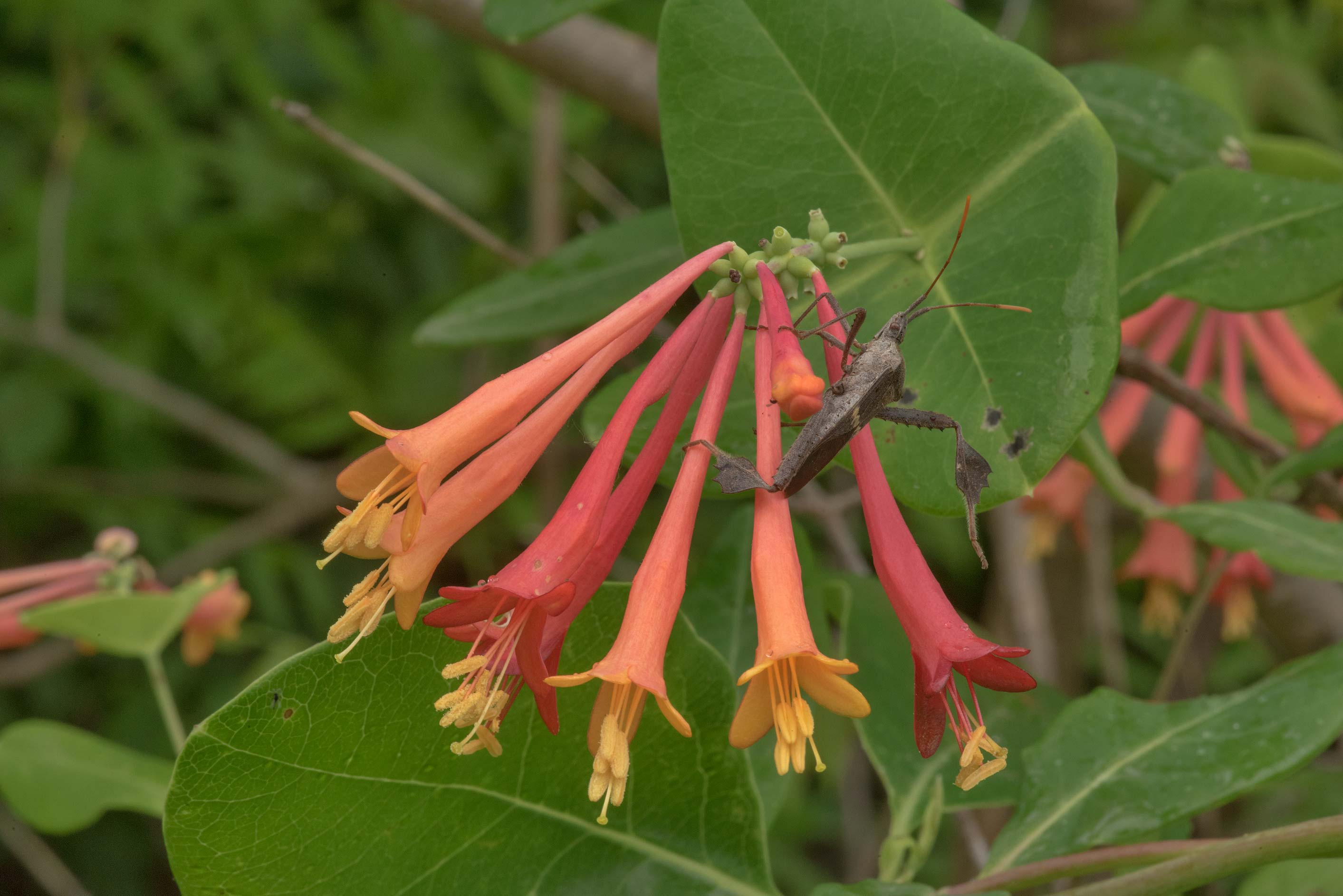 Blooming coral honeysuckle (Lonicera sempervirens...M University. College Station, Texas
