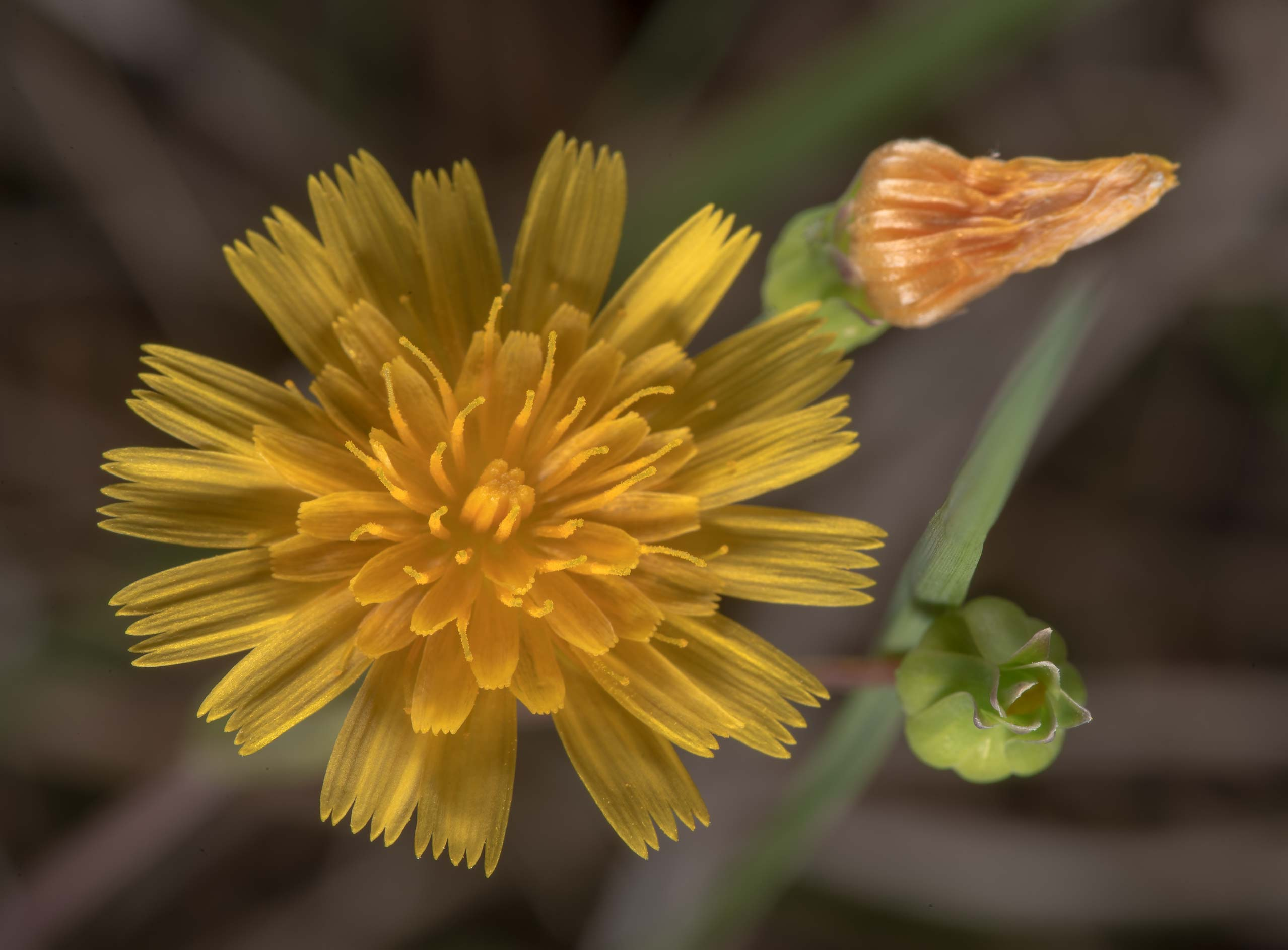Dwarf dandelion (Krigia occidentalis) at Lake...of Somerville Lake State Park. Texas