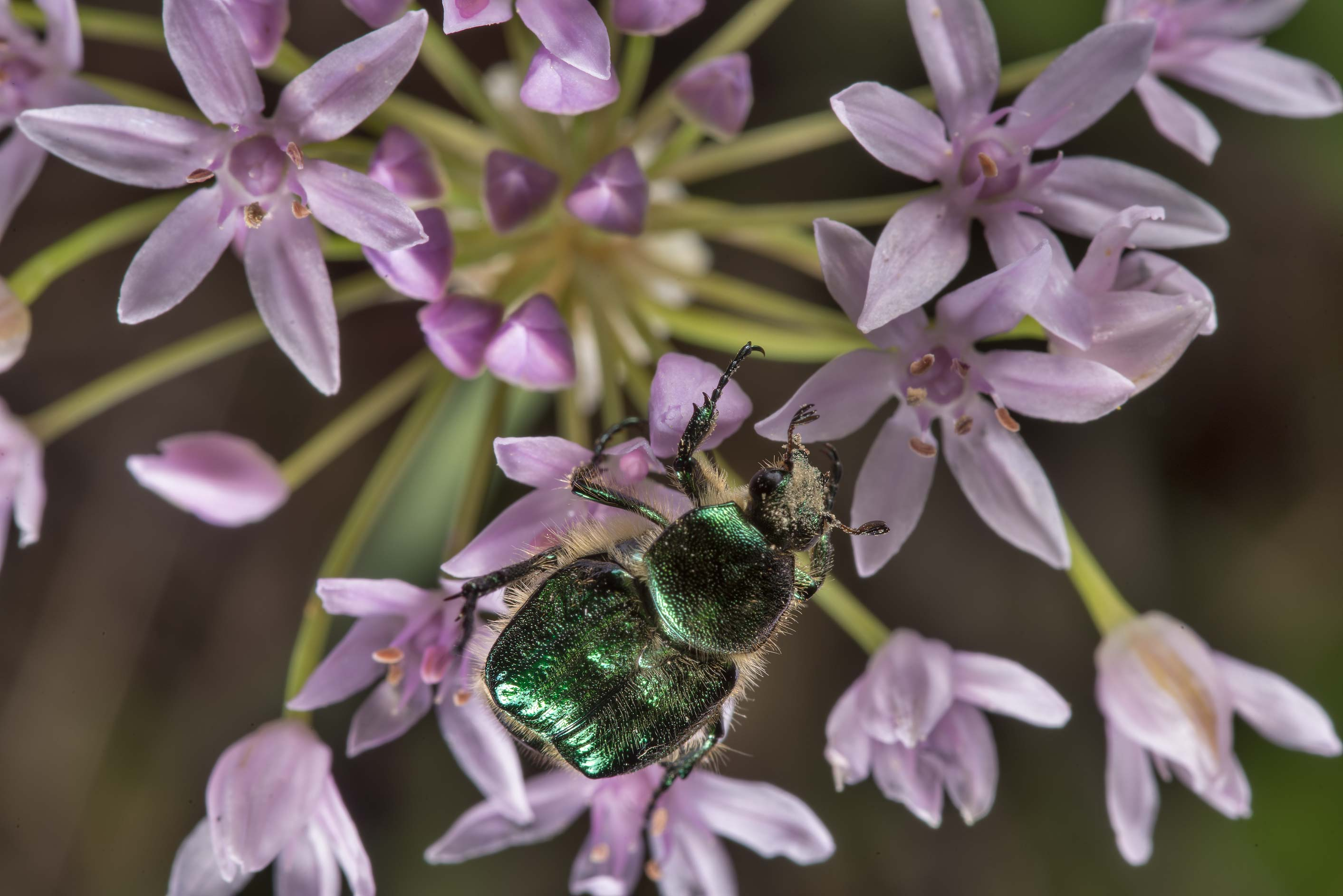 Metallic bronze beetle (Coleoptera, Scarabaeidae...of Somerville Lake State Park. Texas