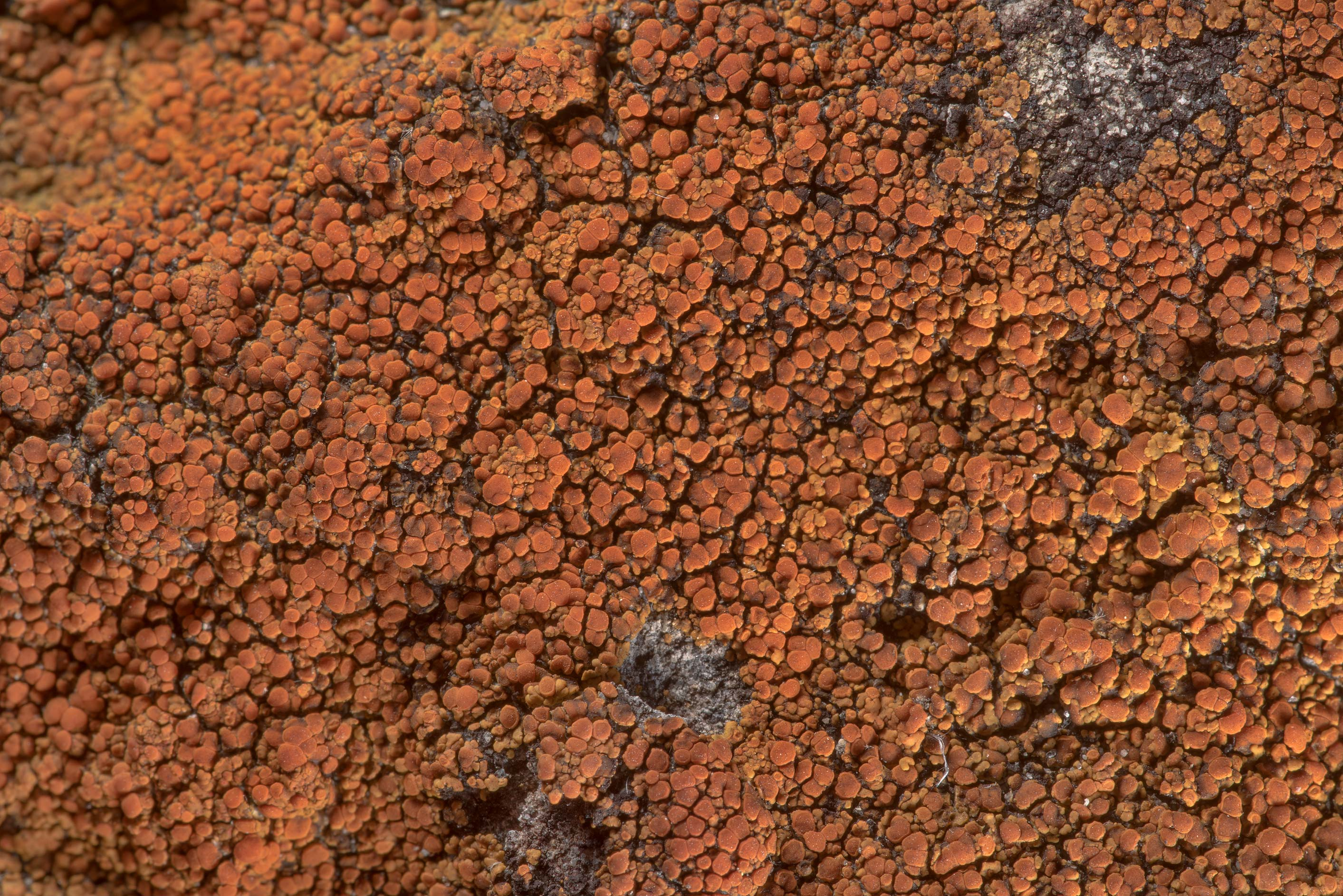 Firedot lichen Caloplaca squamosa on sandstone...of Somerville Lake State Park. Texas