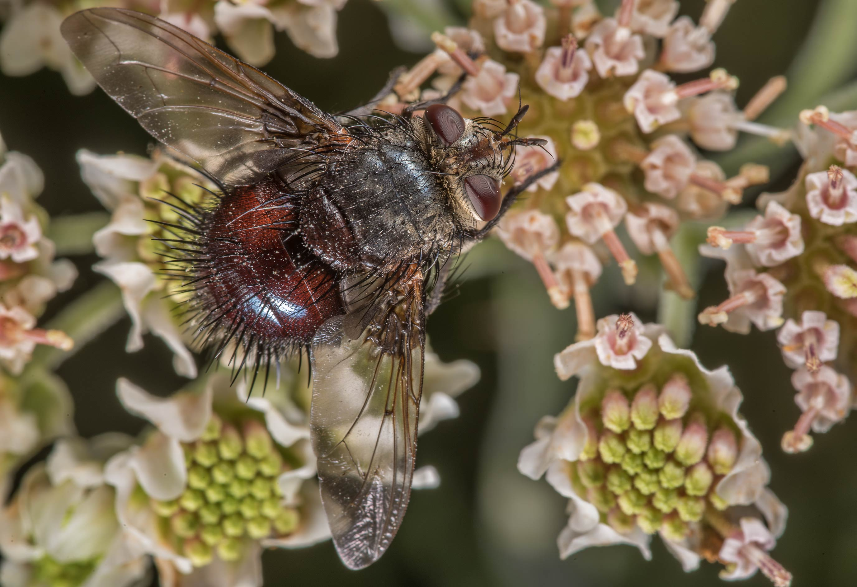 Tachinid fly (Diptera, Tachinidae) on woolly...of Somerville Lake State Park. Texas