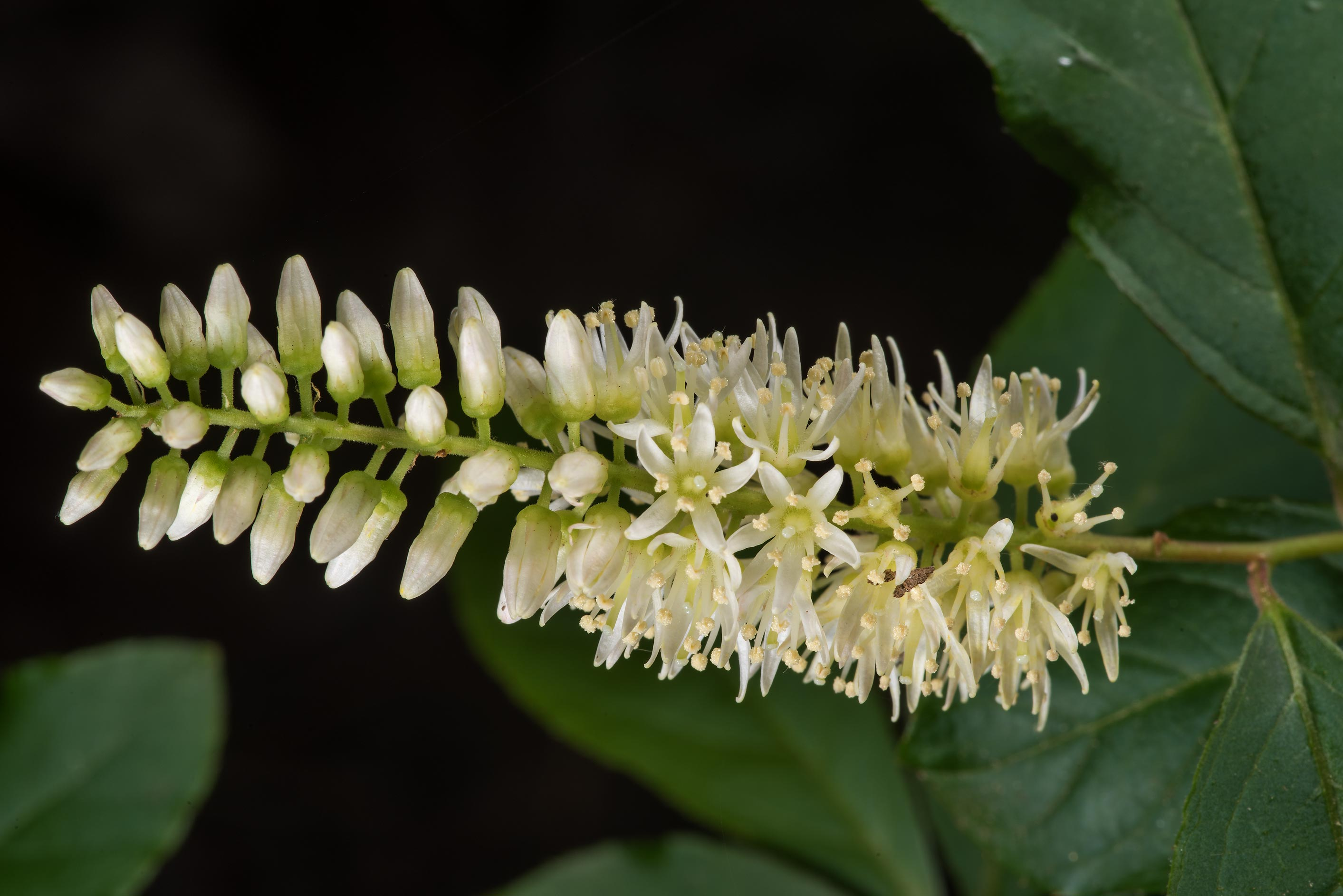 Flowers of Virginia sweetspire (Itea virginica...National Forest. Shepherd, Texas