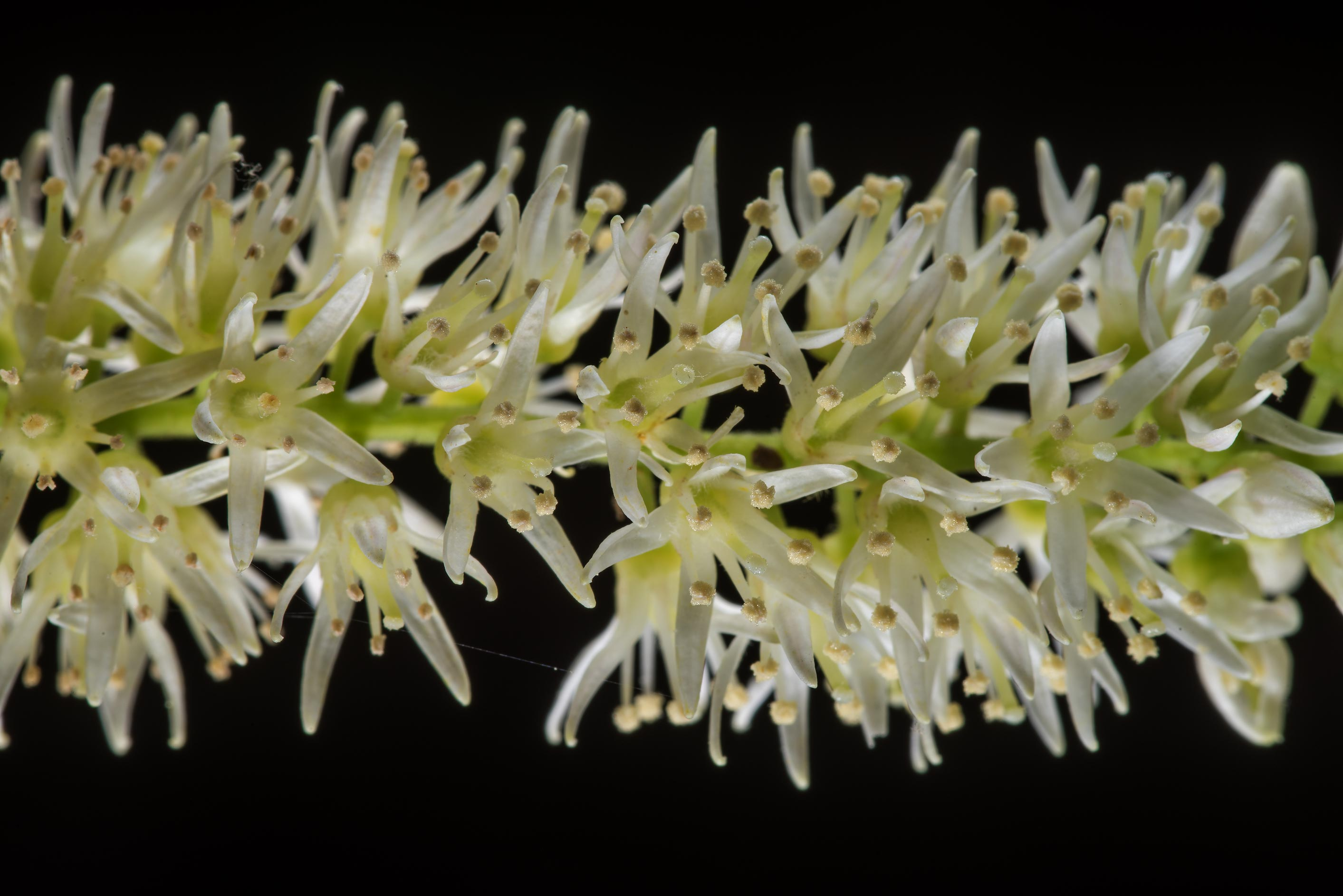 Close up of flowers of Virginia sweetspire (Itea...National Forest. Shepherd, Texas