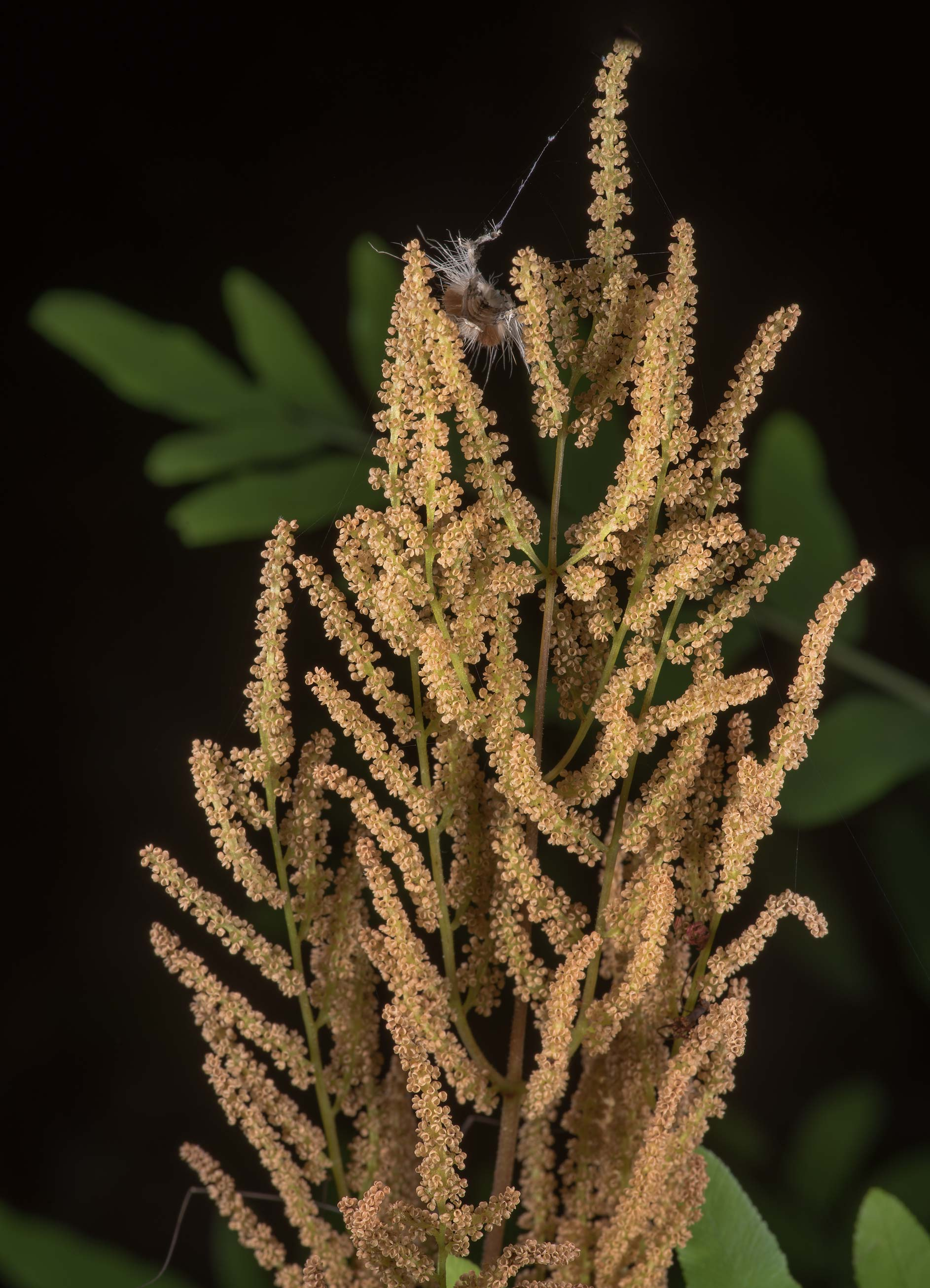 Panicle of royal fern (Osmunda regalis) with...National Forest. Shepherd, Texas