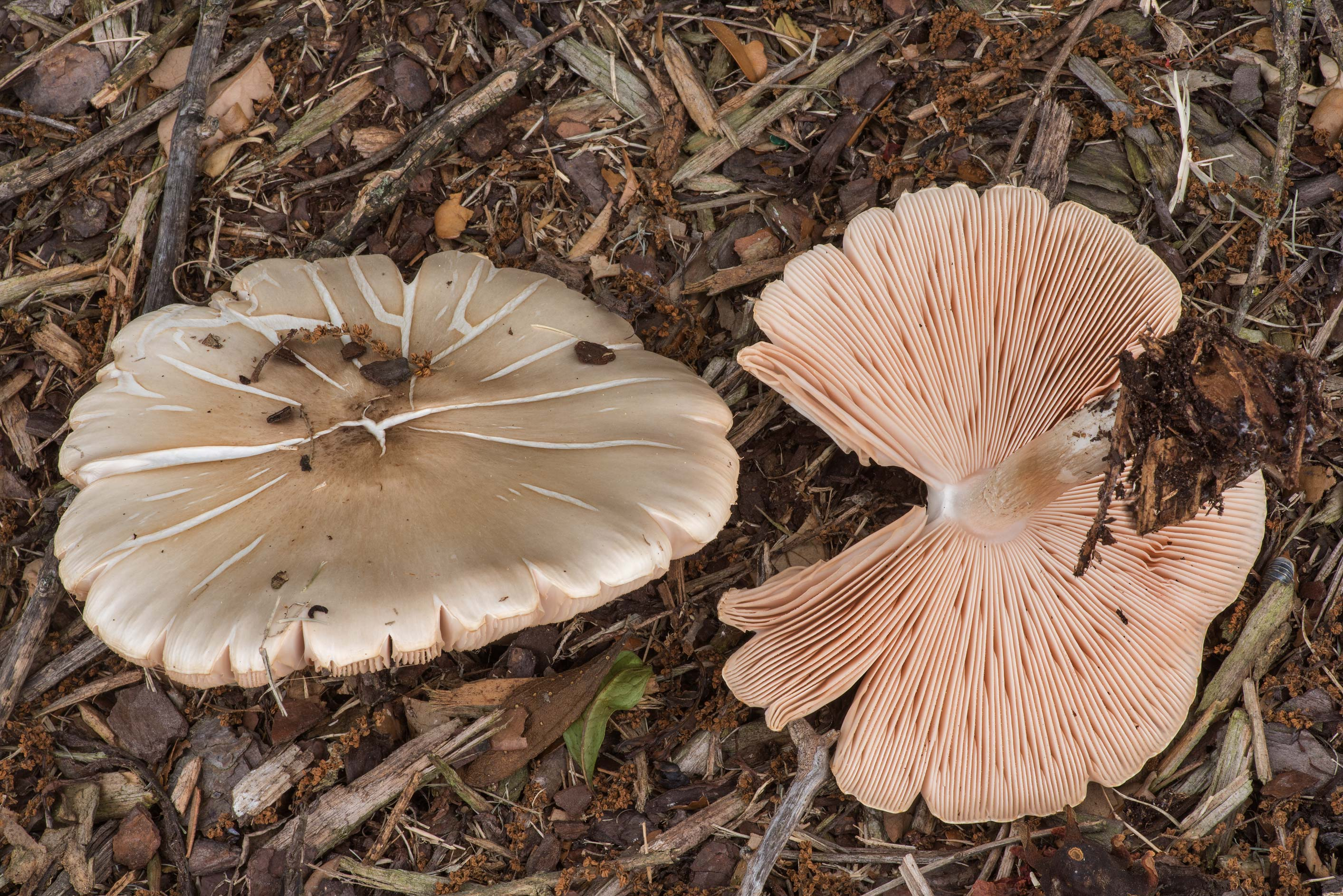 Pluteus petasatus mushrooms under oaks on the...at Texas Ave.. College Station, Texas