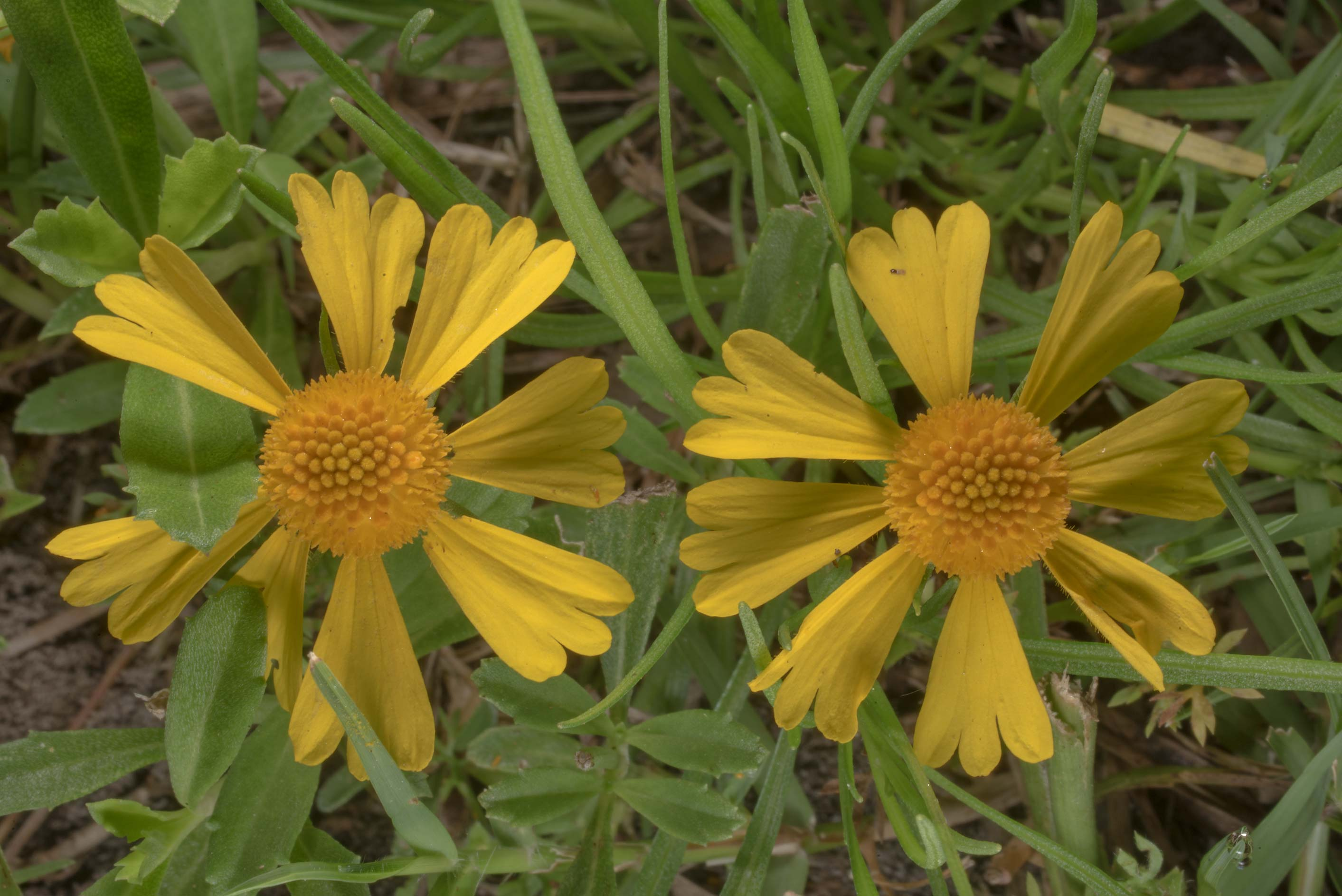 Yellow flowers of sneezeweed (Helenium amarum) in...Pen Creek Park. College Station, Texas