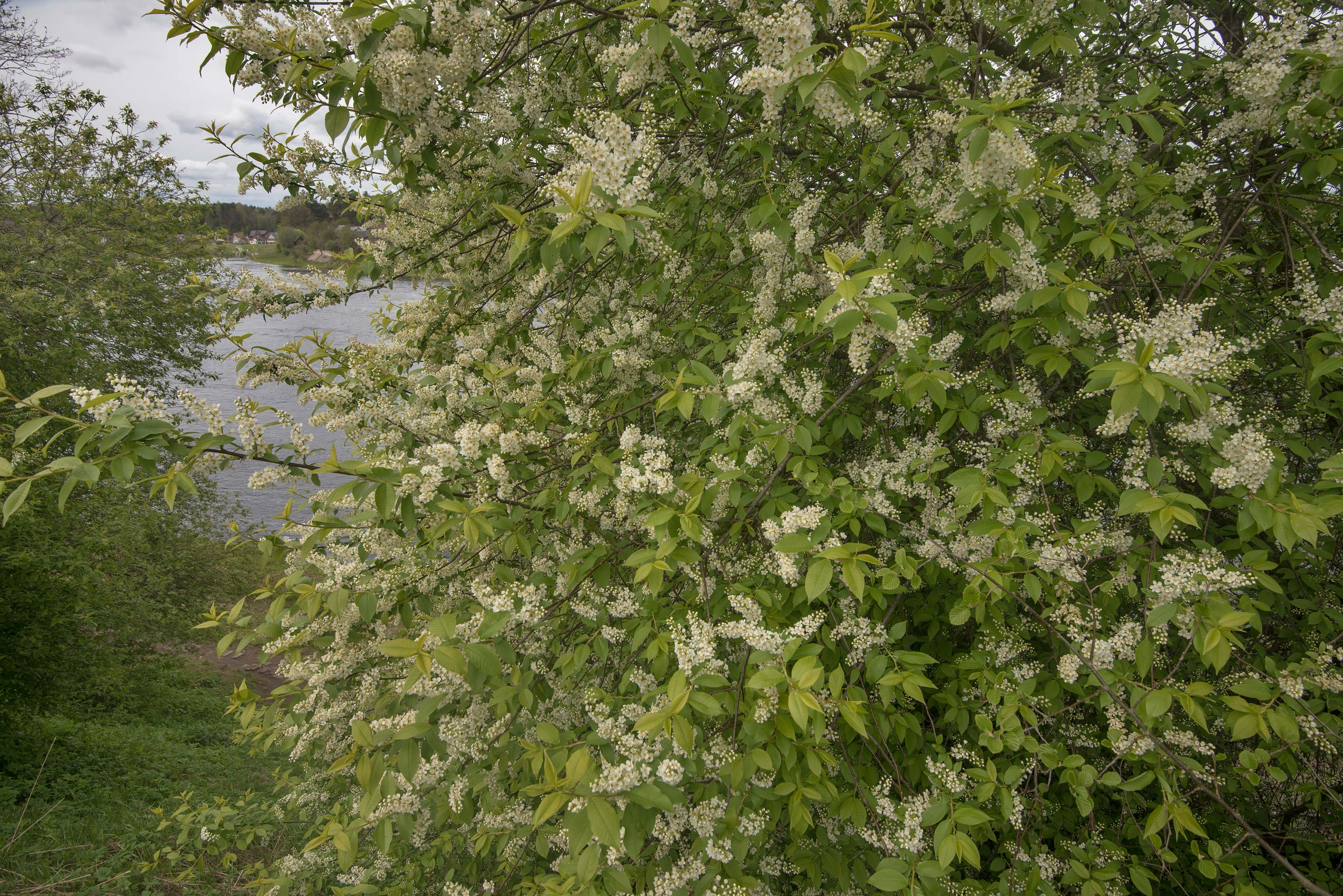 Blooming bird cherry on a wall of Yamburg Fortress in Kingisepp. Russia