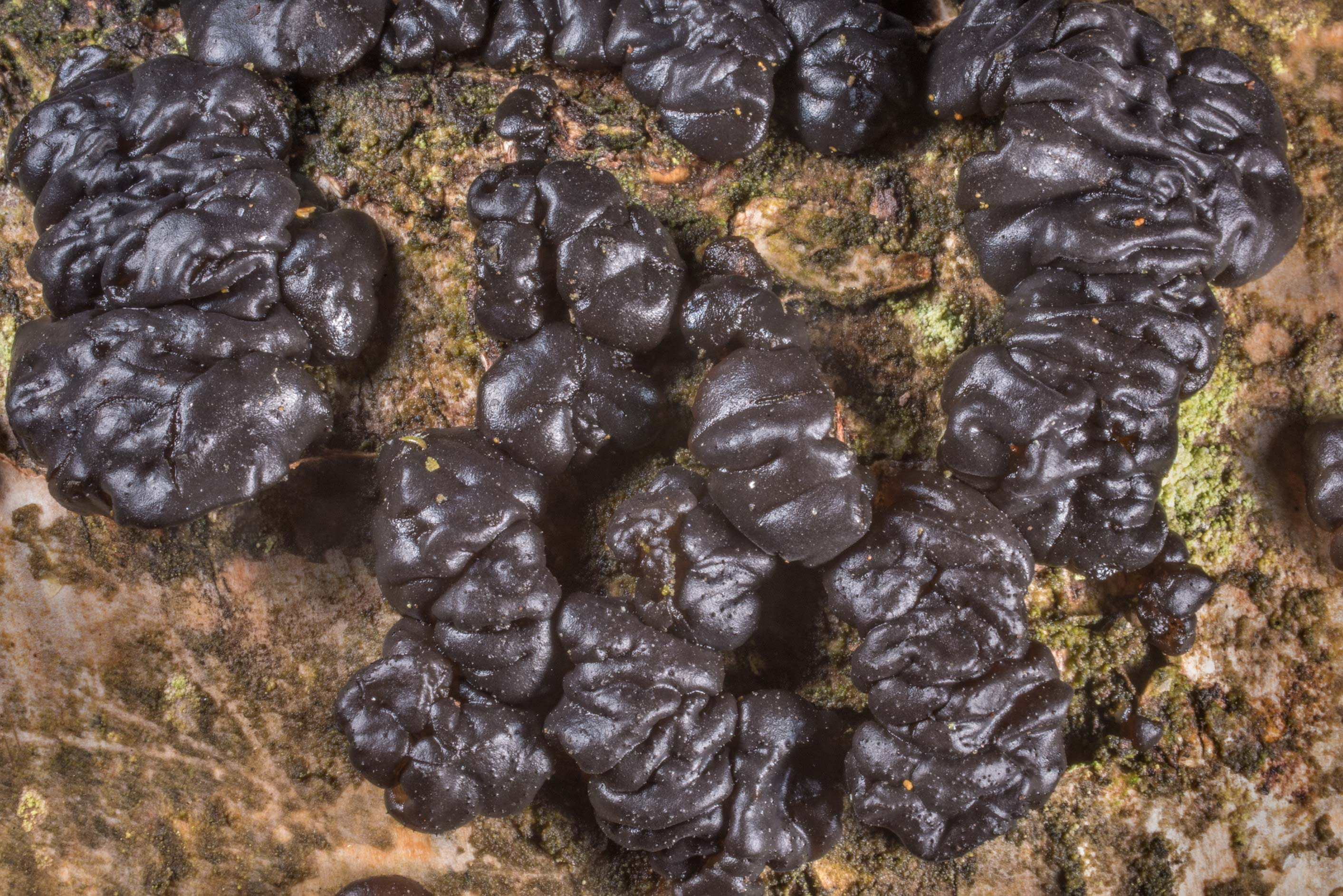 Witches butter mushroom (jelly fungus, Exidia...Nos, west from St.Petersburg. Russia