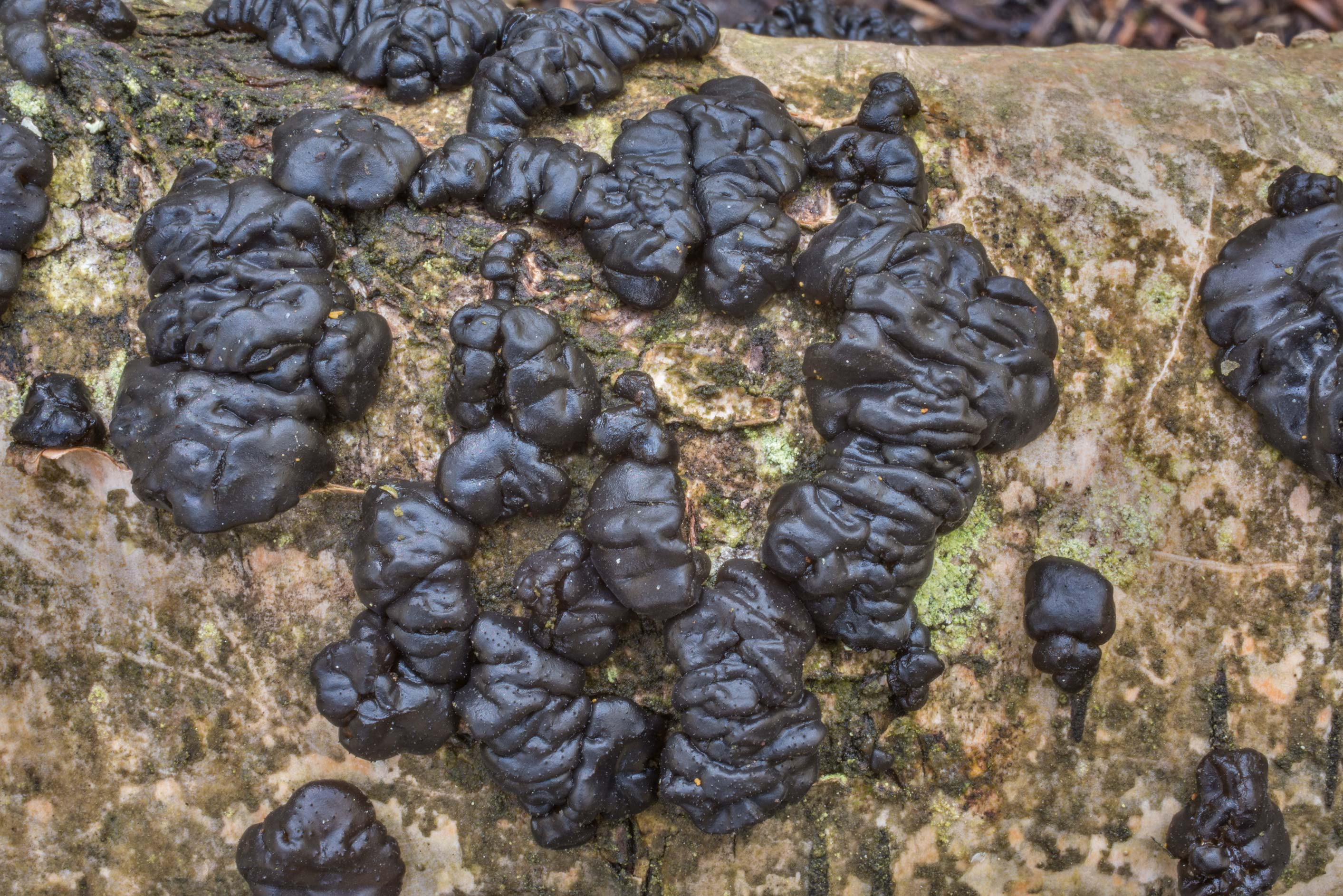 Pattern of witches butter mushroom (jelly fungus...Nos, west from St.Petersburg. Russia