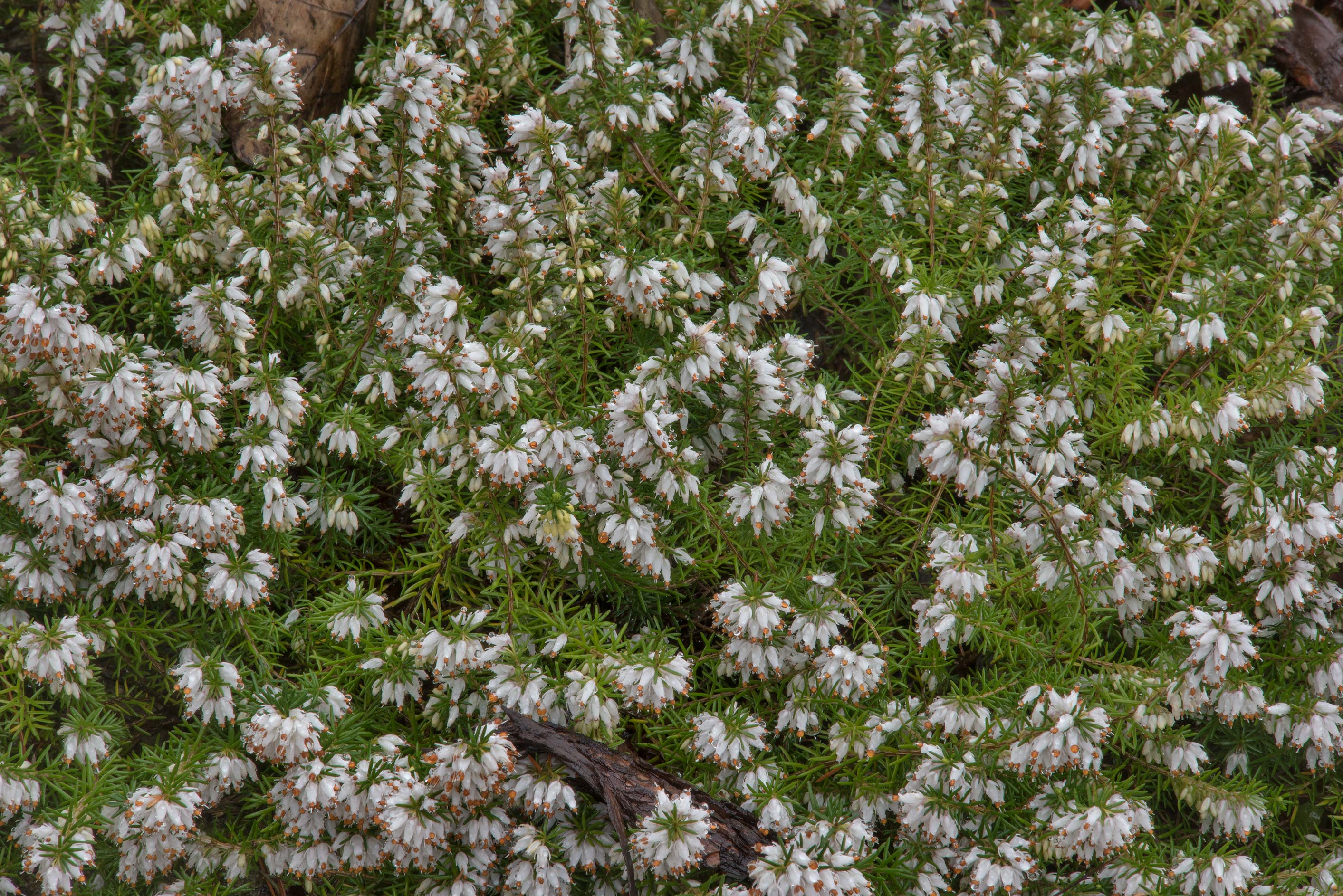 White heather flowers in Peter the Great...Institute. St.Petersburg, Russia