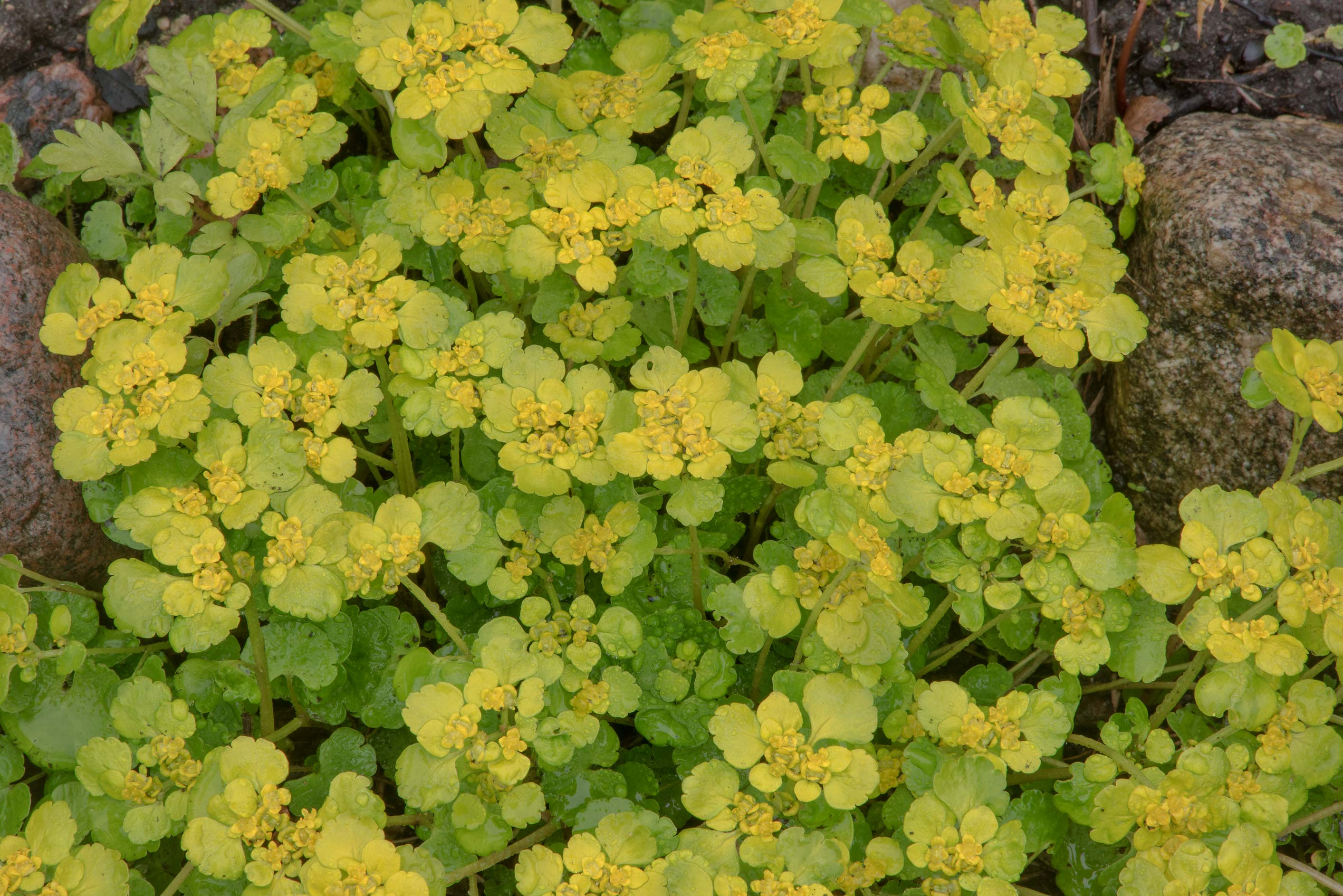 Alternate-leaved Golden Saxifrage (Chrysosplenium...Institute. St.Petersburg, Russia