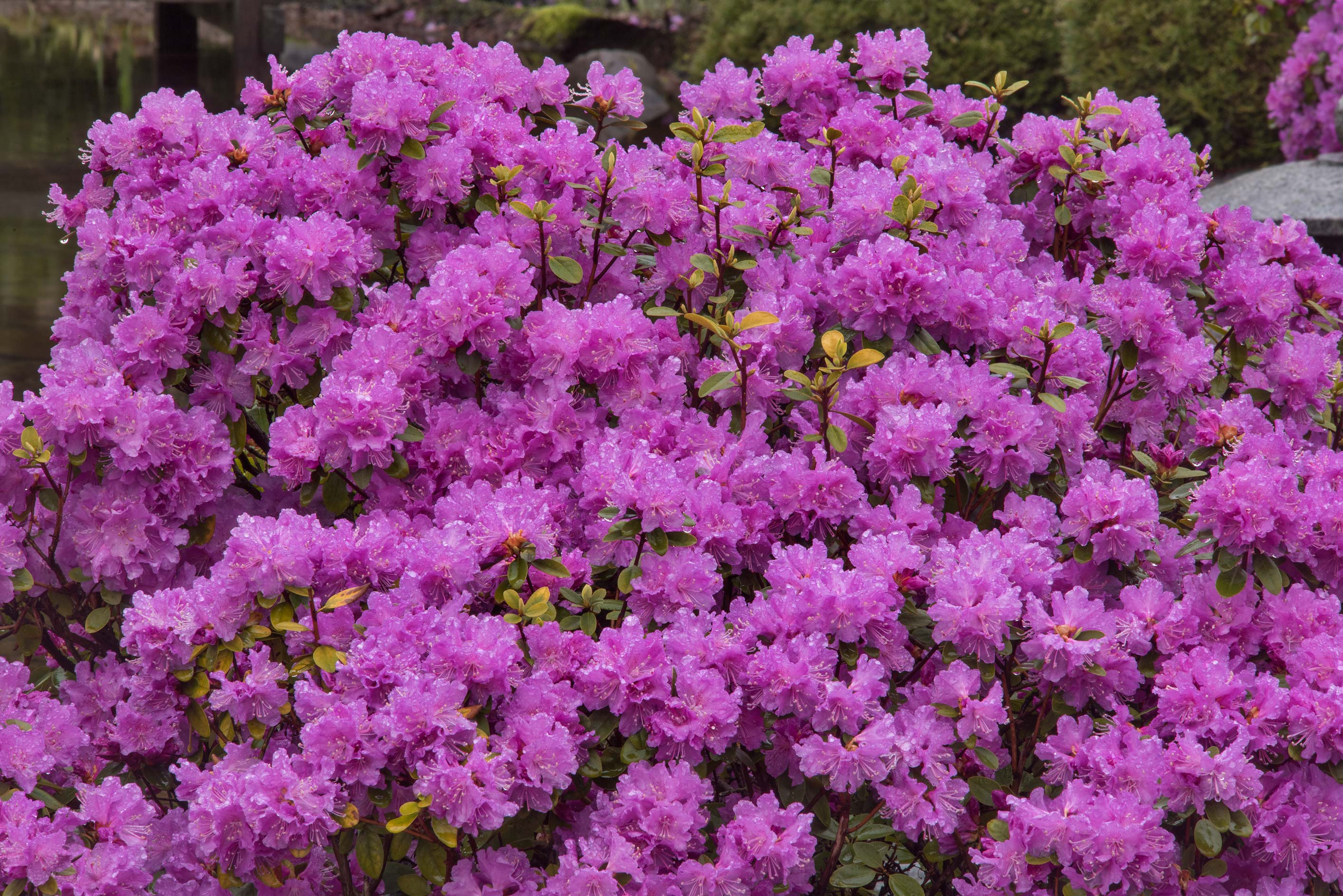 Purple Rhododendron (asalia) in Peter the Great...Institute. St.Petersburg, Russia