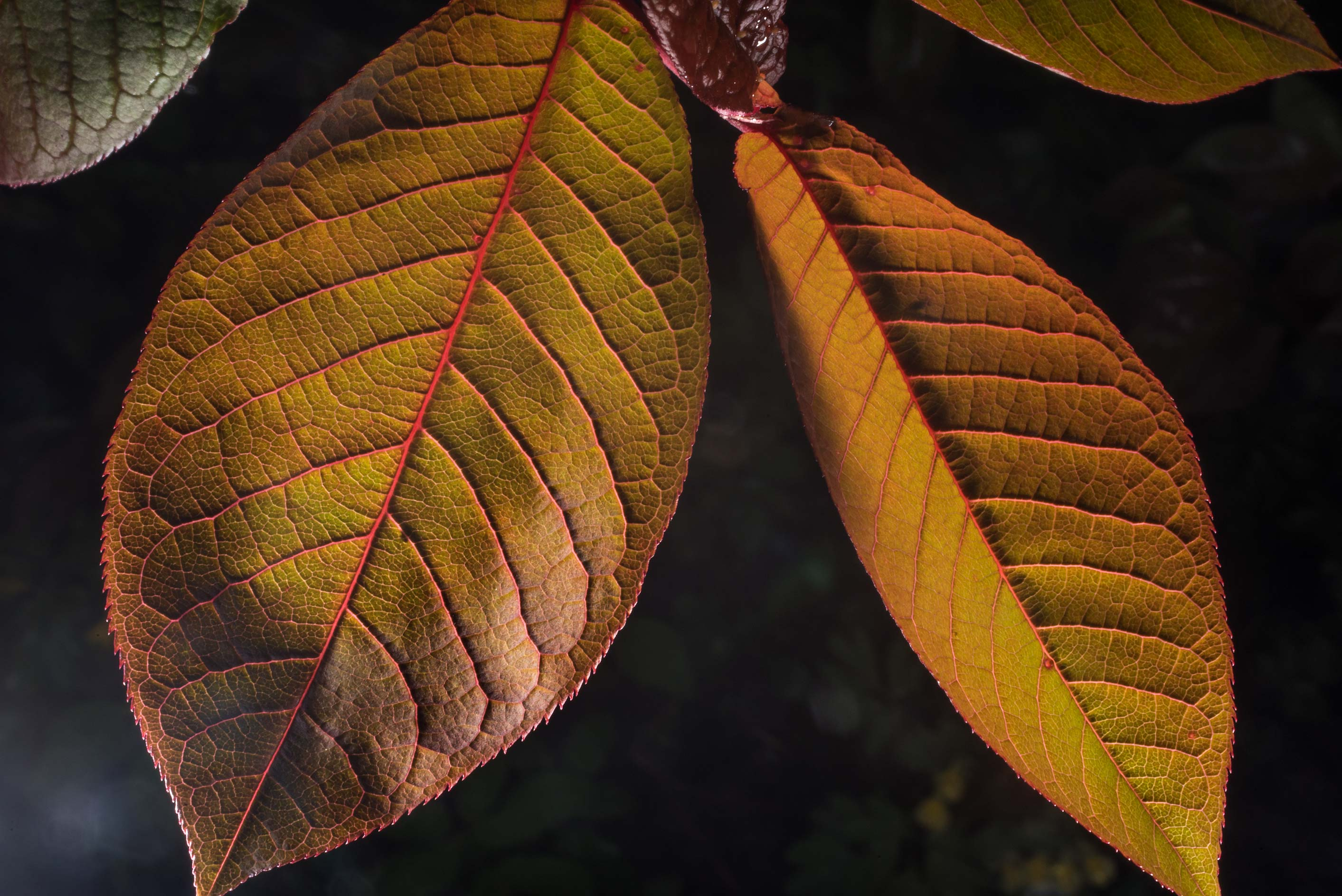 Back lit reddish leaves in Peter the Great...Institute. St.Petersburg, Russia