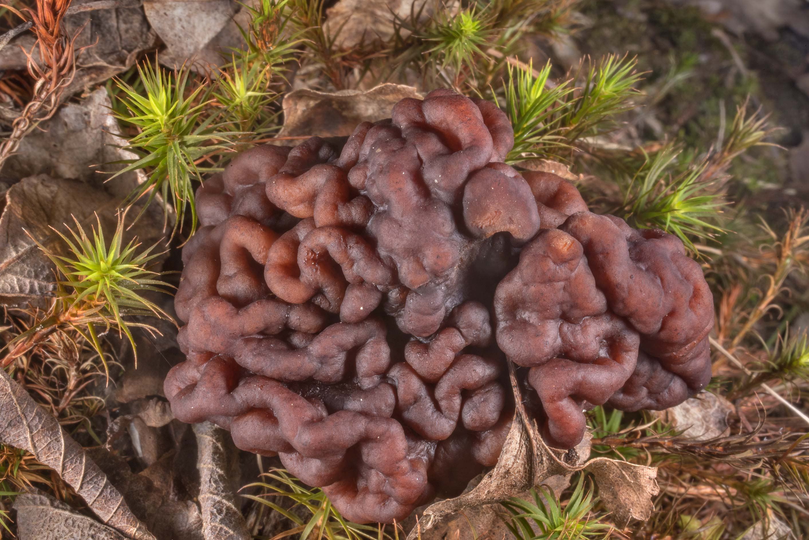 False morel mushroom (Gyromitra esculenta) in...north from St.Petersburg. Russia